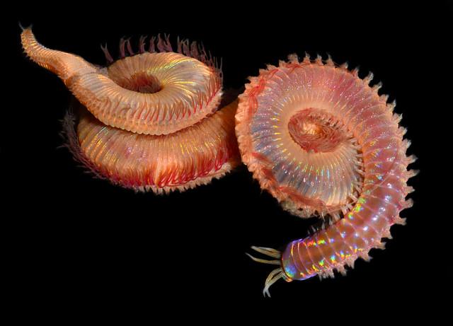 Marphysa species, Lake Merritt