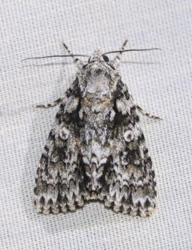 Marble Dagger Moth (Acronicta marmorata)