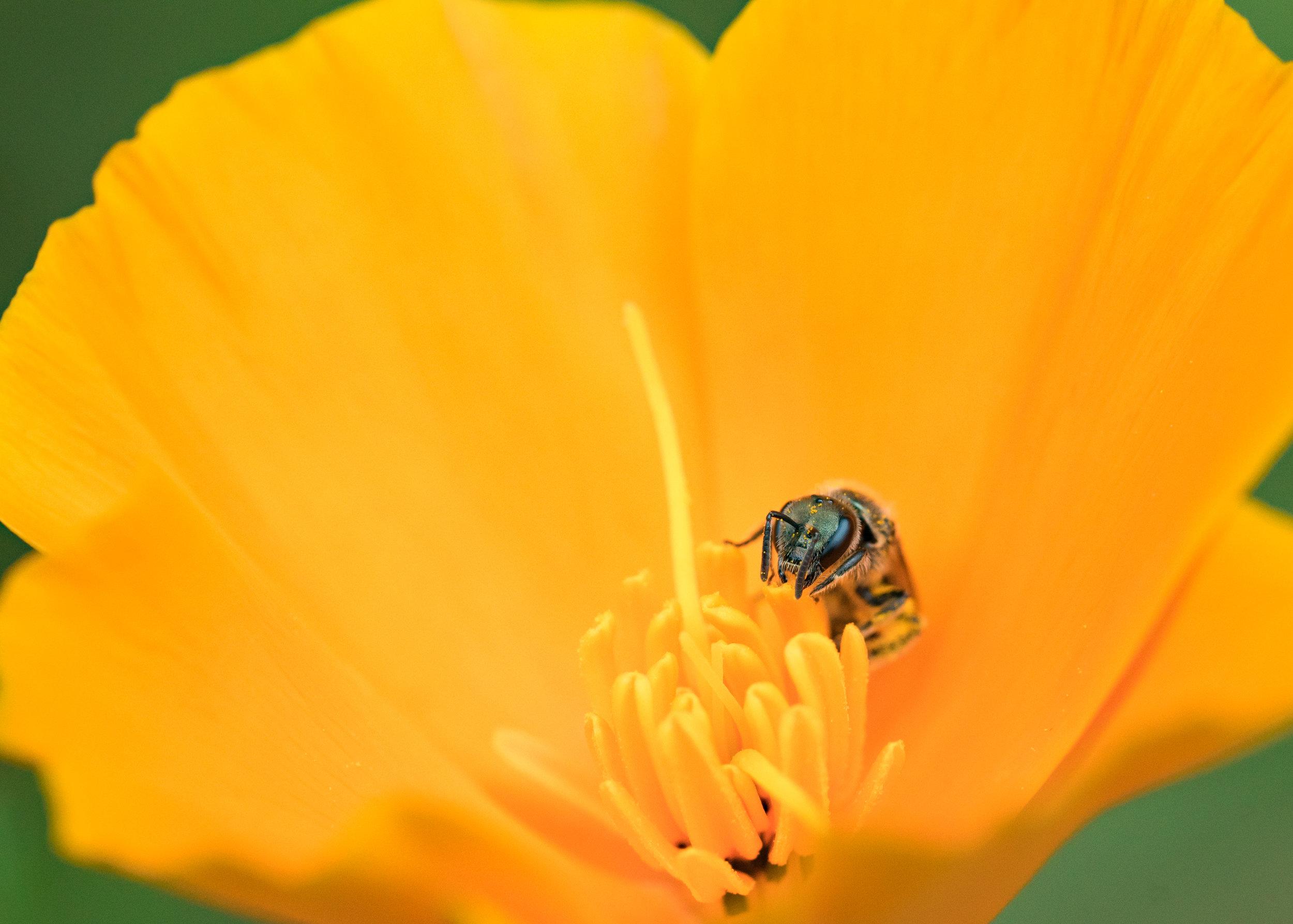 A solitary native bee feed on a California poppy. Photo by Tony Iwane.