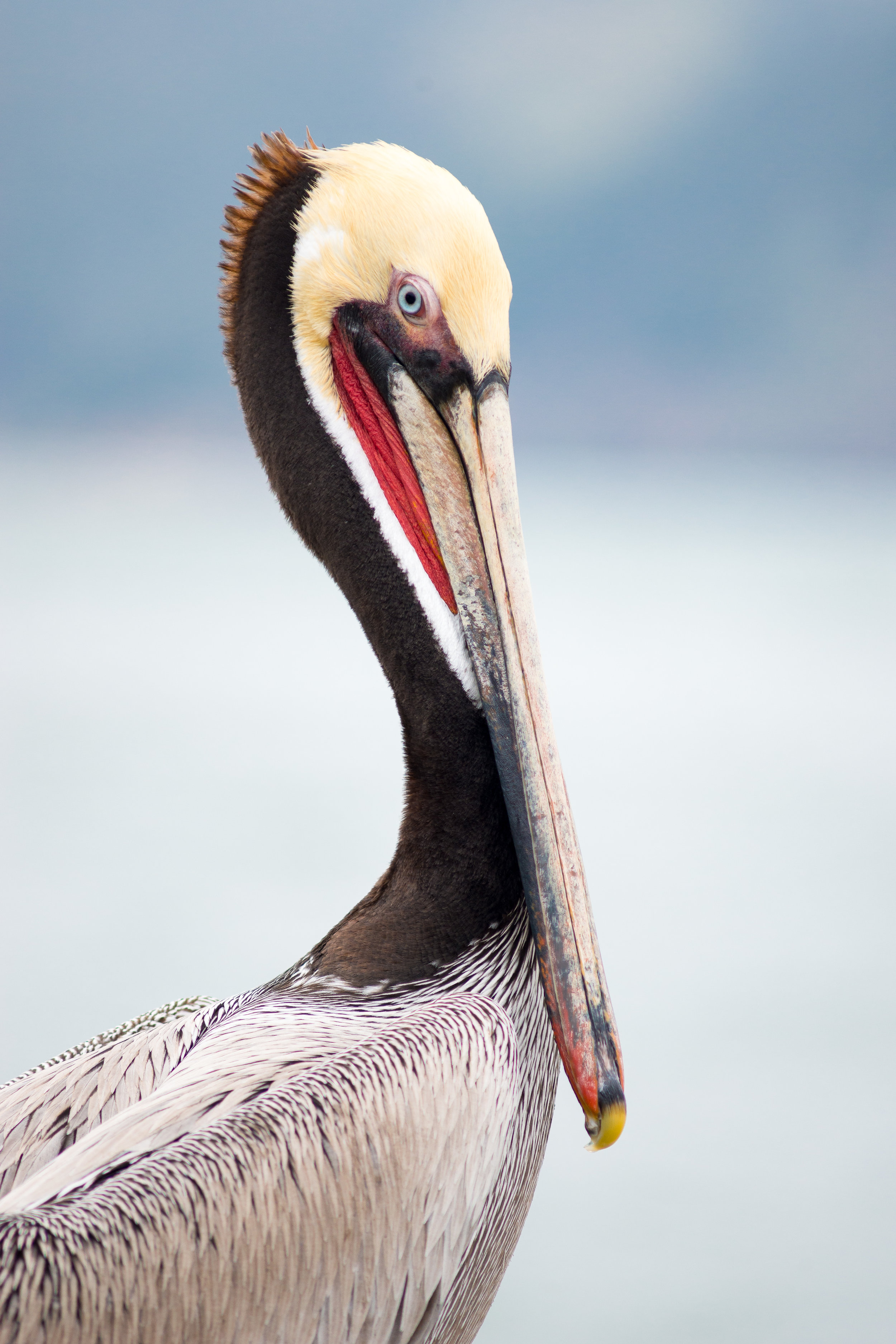 Brown Pelican. Photo by Tony Iwane.