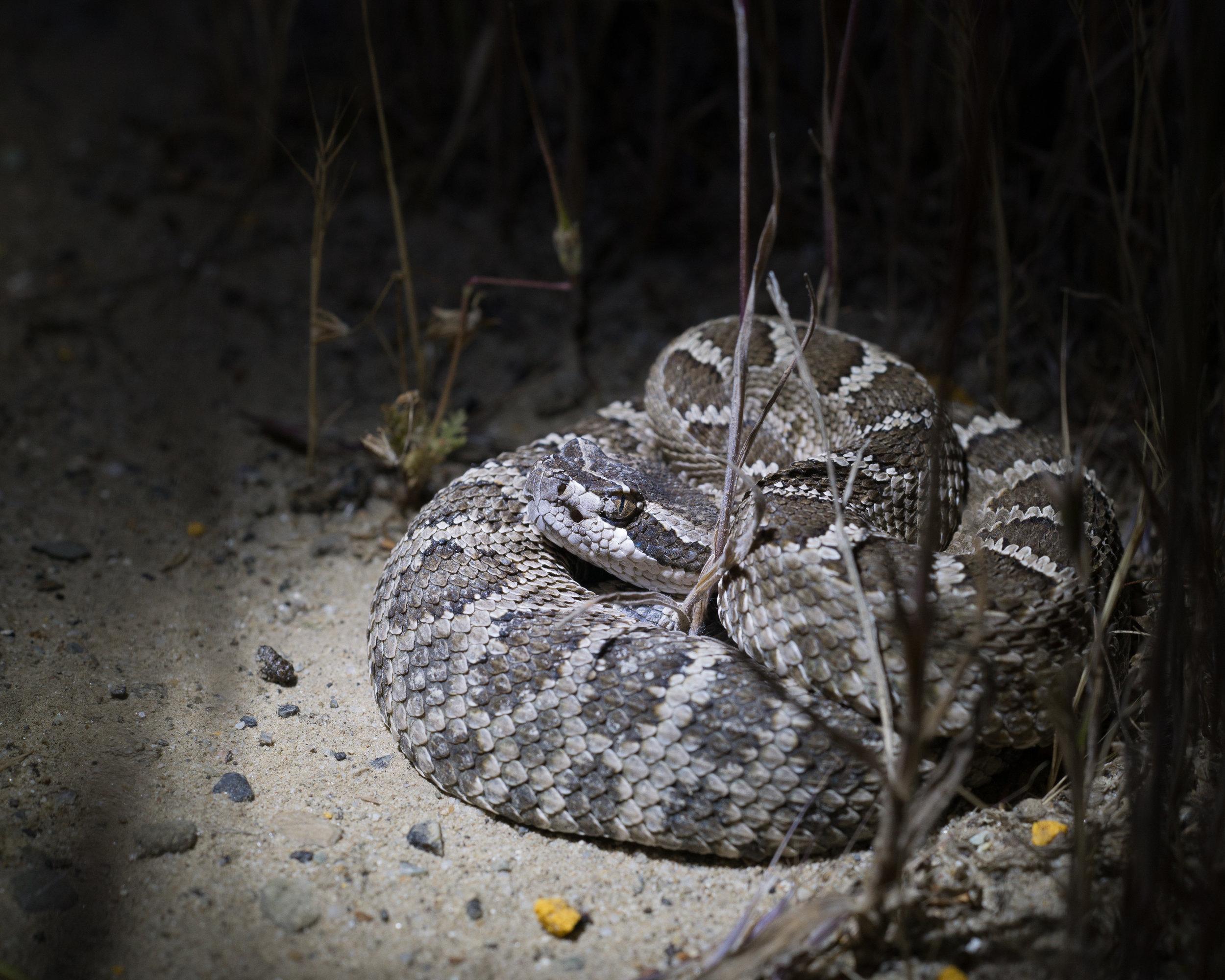 Northern Pacific Rattlesnake.Photo by Tony Iwane.