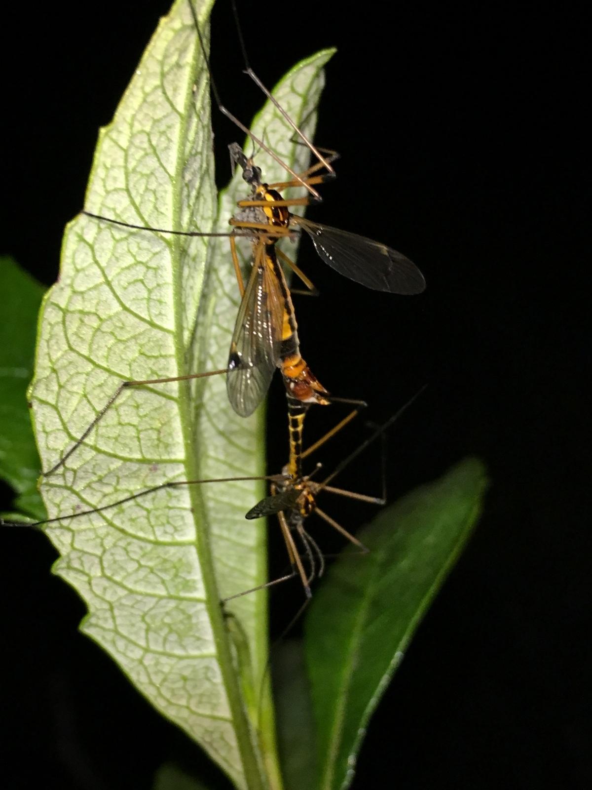 Mating Crane Flies