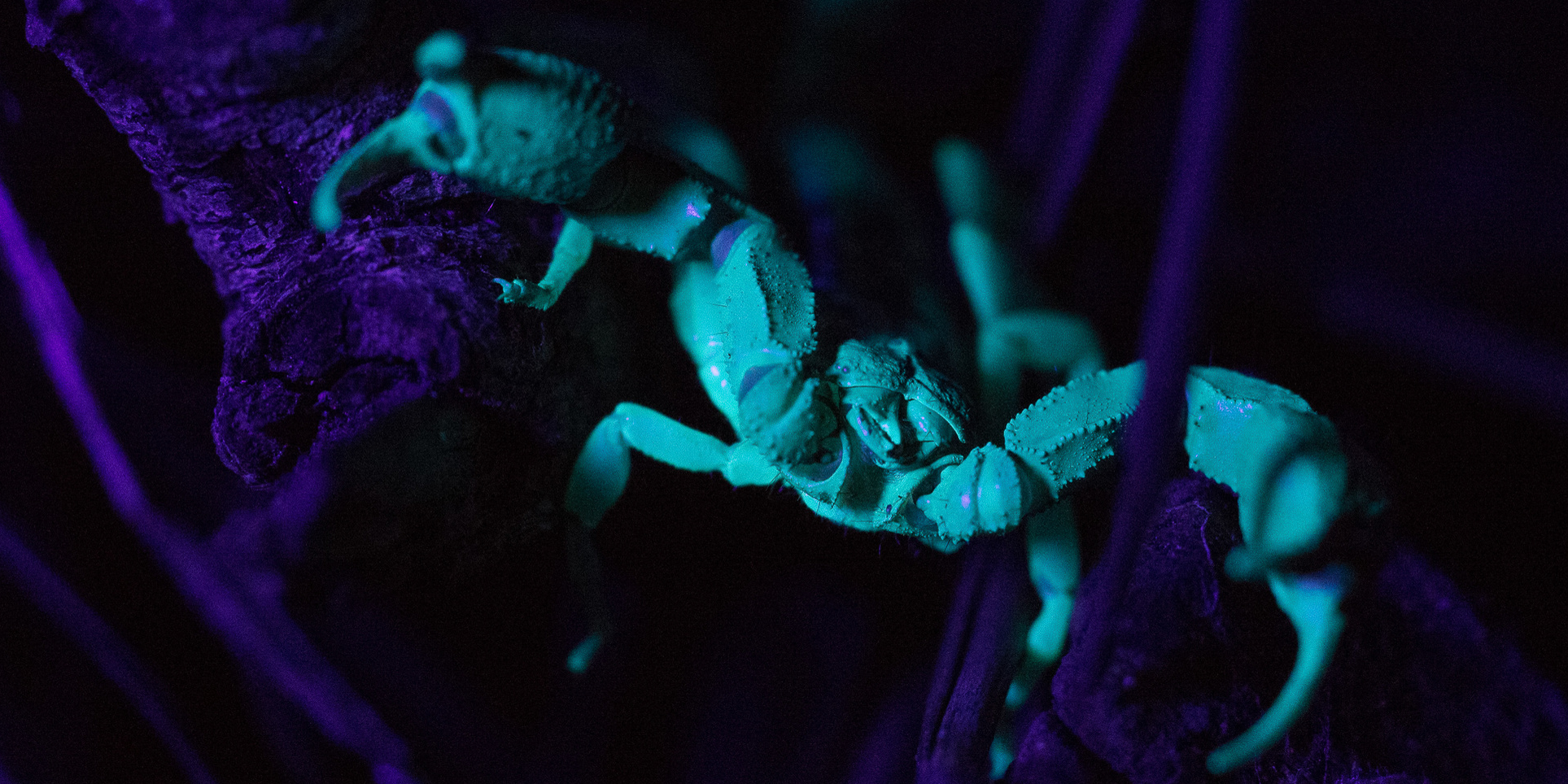 A western forest scorpion fluoresces under a UV light at Joaquin Miller Park. Photo by Tony Iwane.