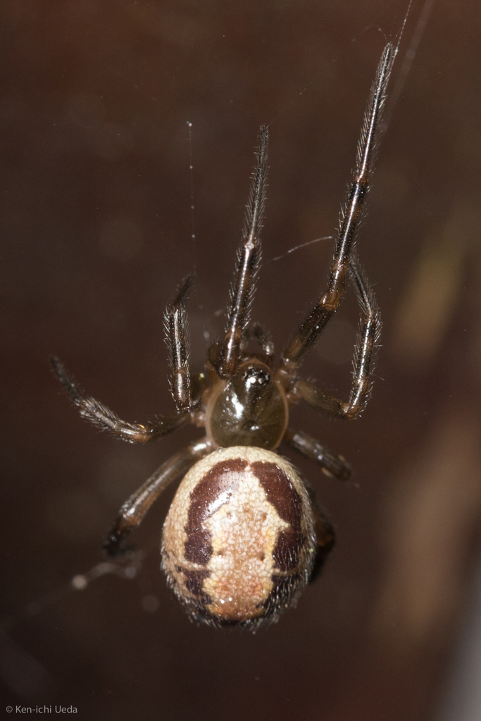 A noble false widow spider at Joaquin Miller Park. Photo by Ken-ichi Ueda.