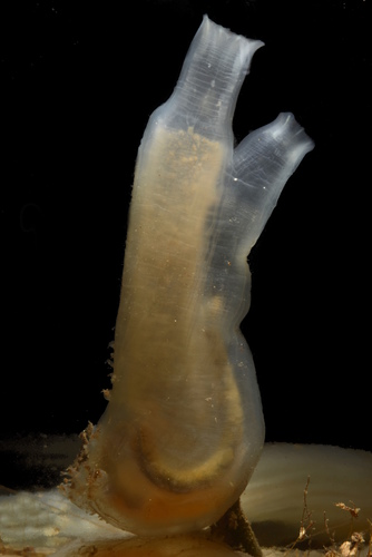 Sea Vase Tunicate. Photo: Damon Tighe