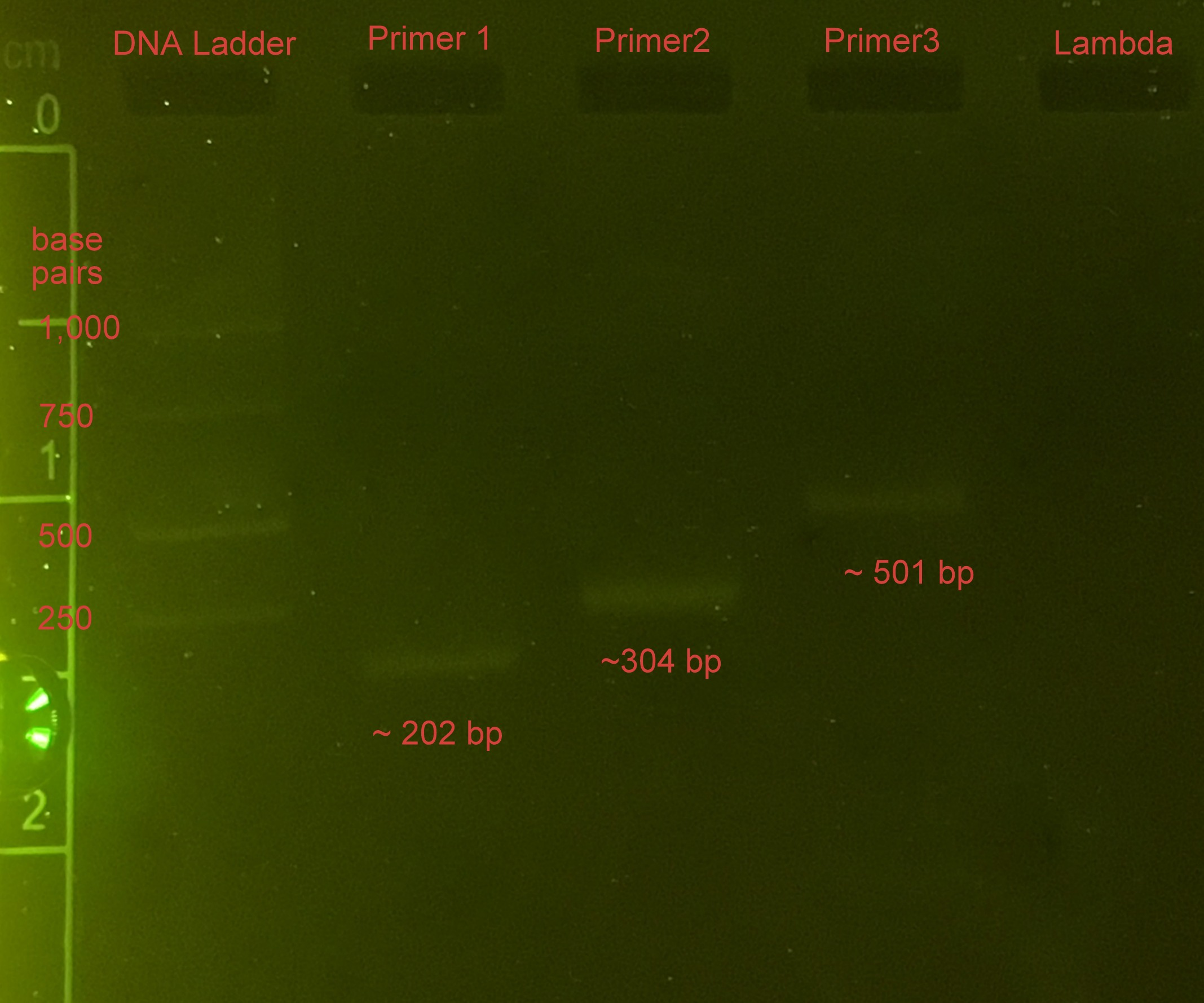 Validation run gel image. Lamda DNA was successfully amplified using our system!