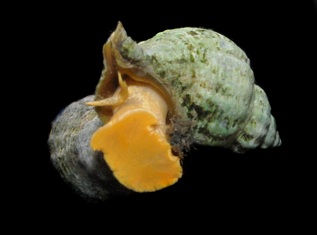 Urosalpinx cinerea