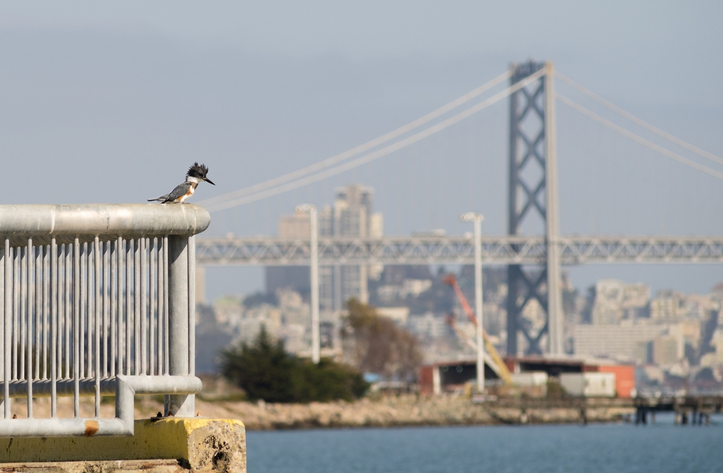 A female belted kingfisher searches for prey at Middle Harbor Shoreline Park. Photo by Tony Iwane.