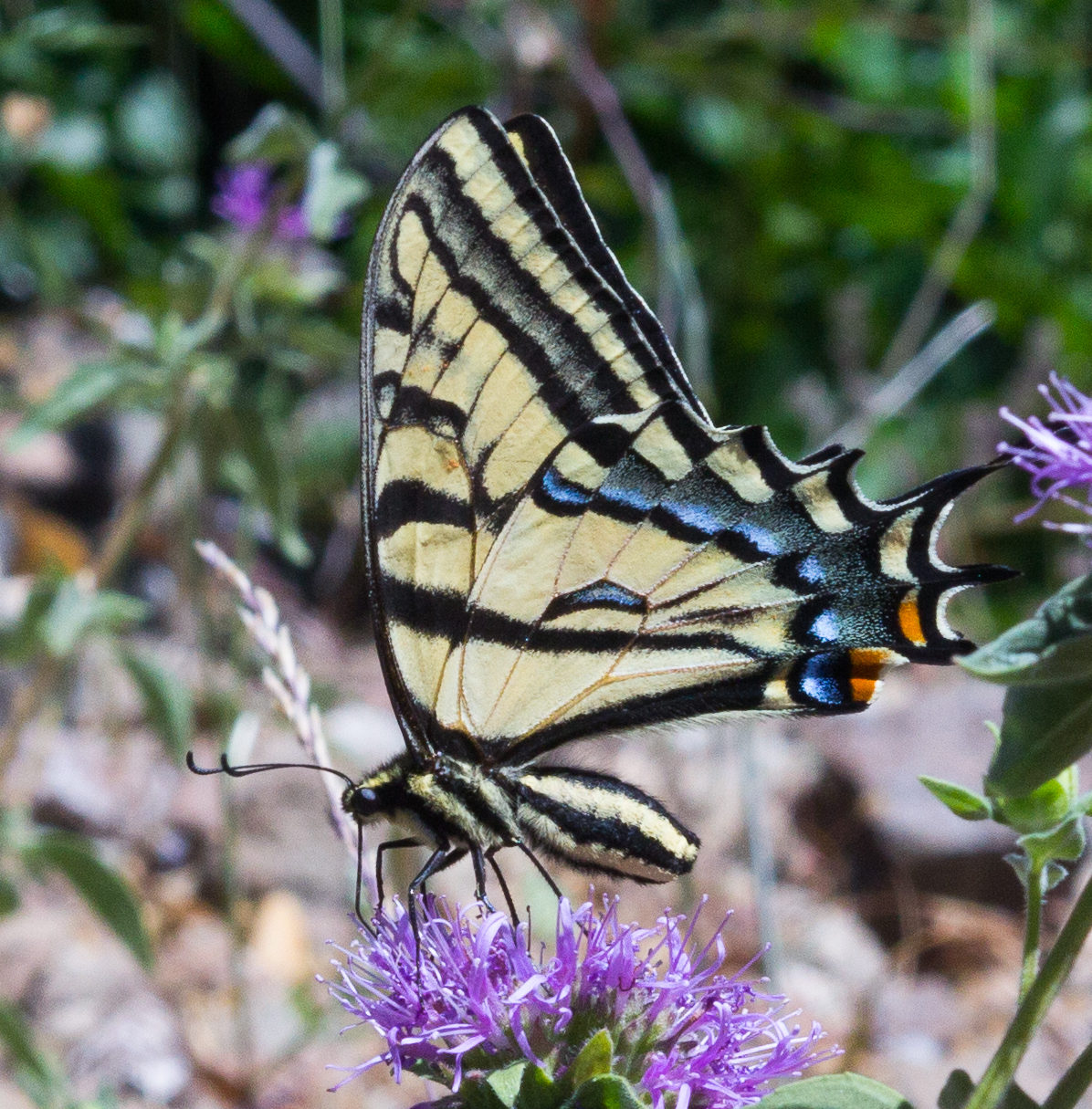 Two-tailed Swallowtail (with all tails missing due to likely bird strike). Photo by Tony Iwane.
