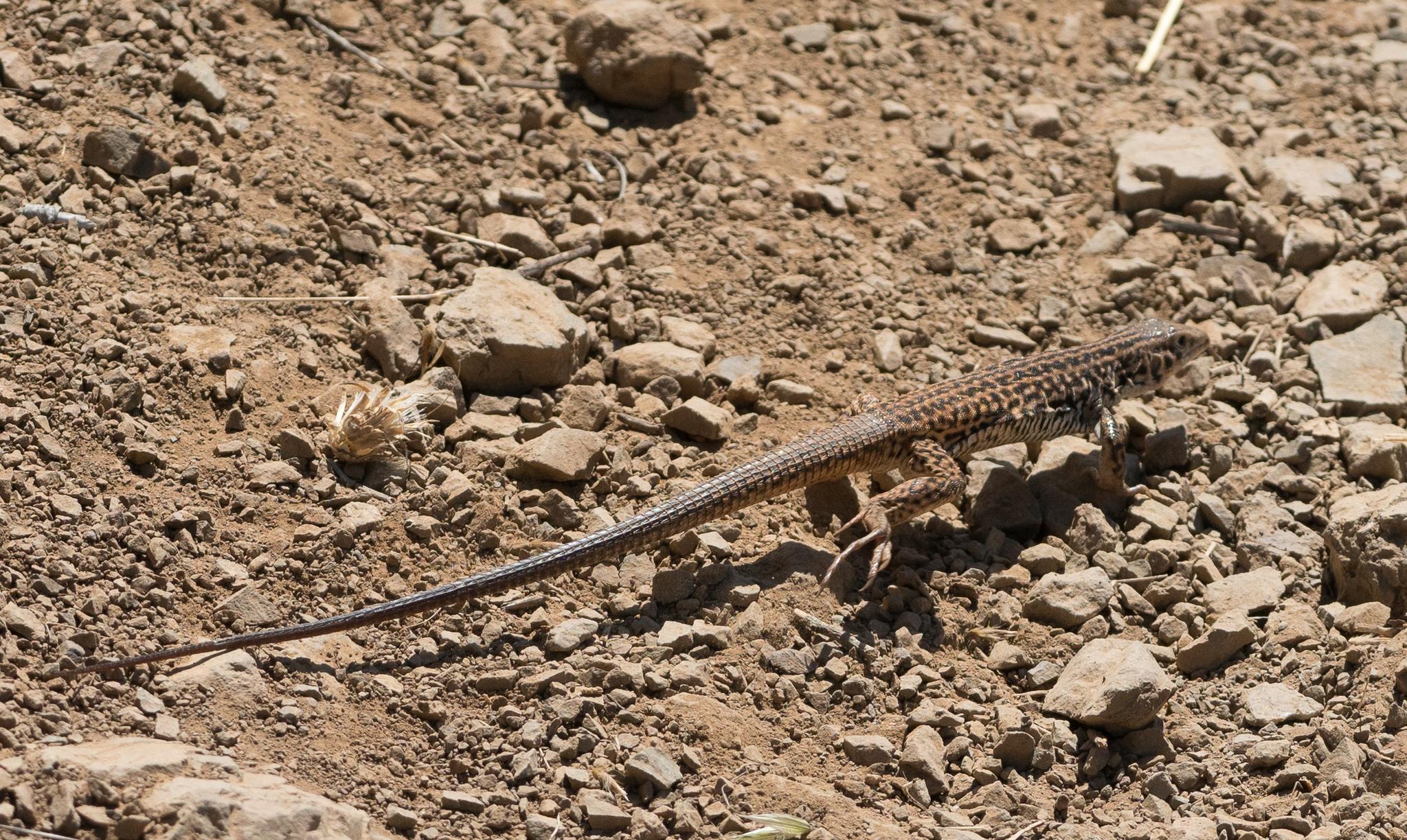 California Whiptail lizard.Photo by Tony Iwane.
