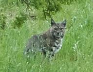 Lynx rufus aka Bobcat by Tony Iwane