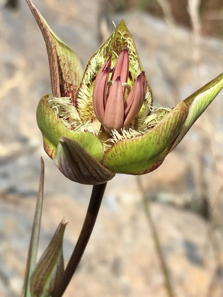 Calochortus tiburonensis, side view