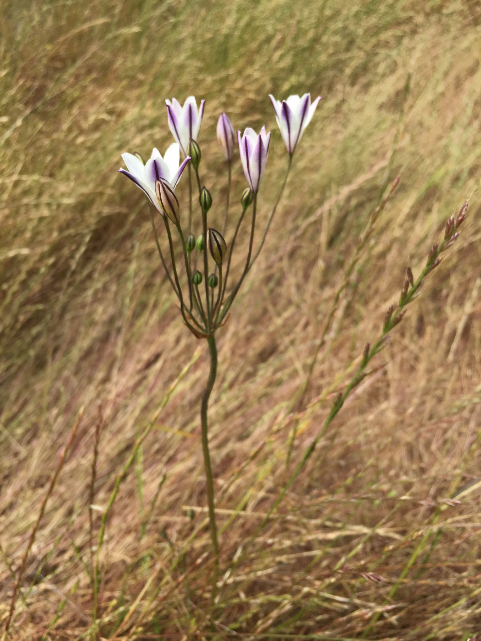 Long ray brodiaea (Triteleia peduncularis)