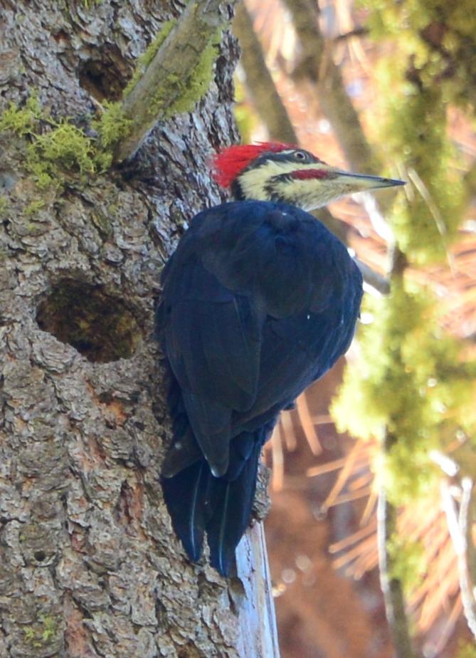Dryocopus pileatus - Pileated Woodpecker