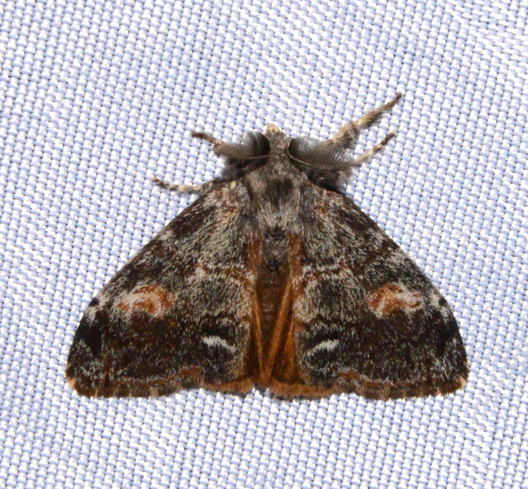 Orgyia pseudotsugata - The Douglas-fir tussock moth