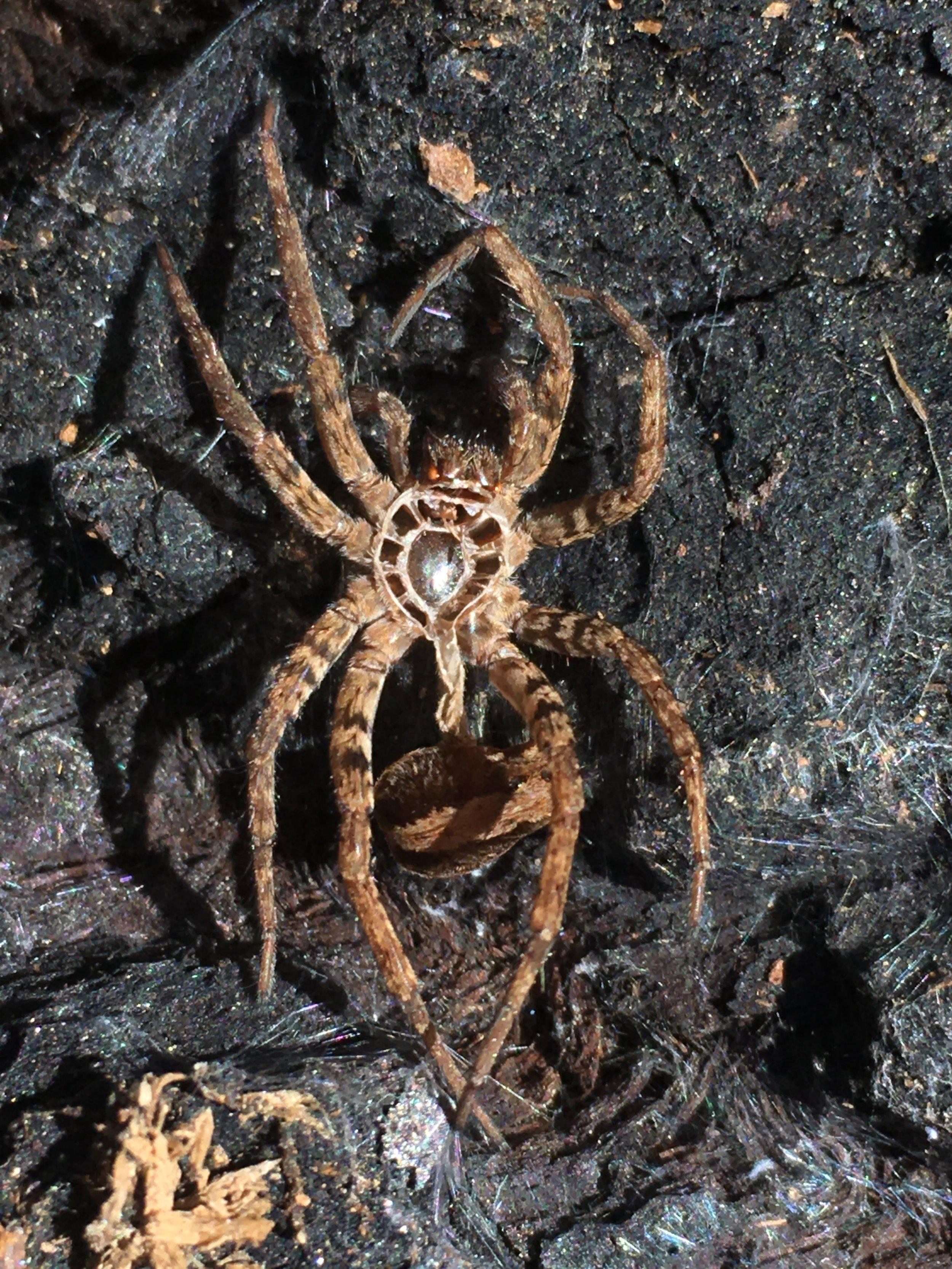 Spider molt