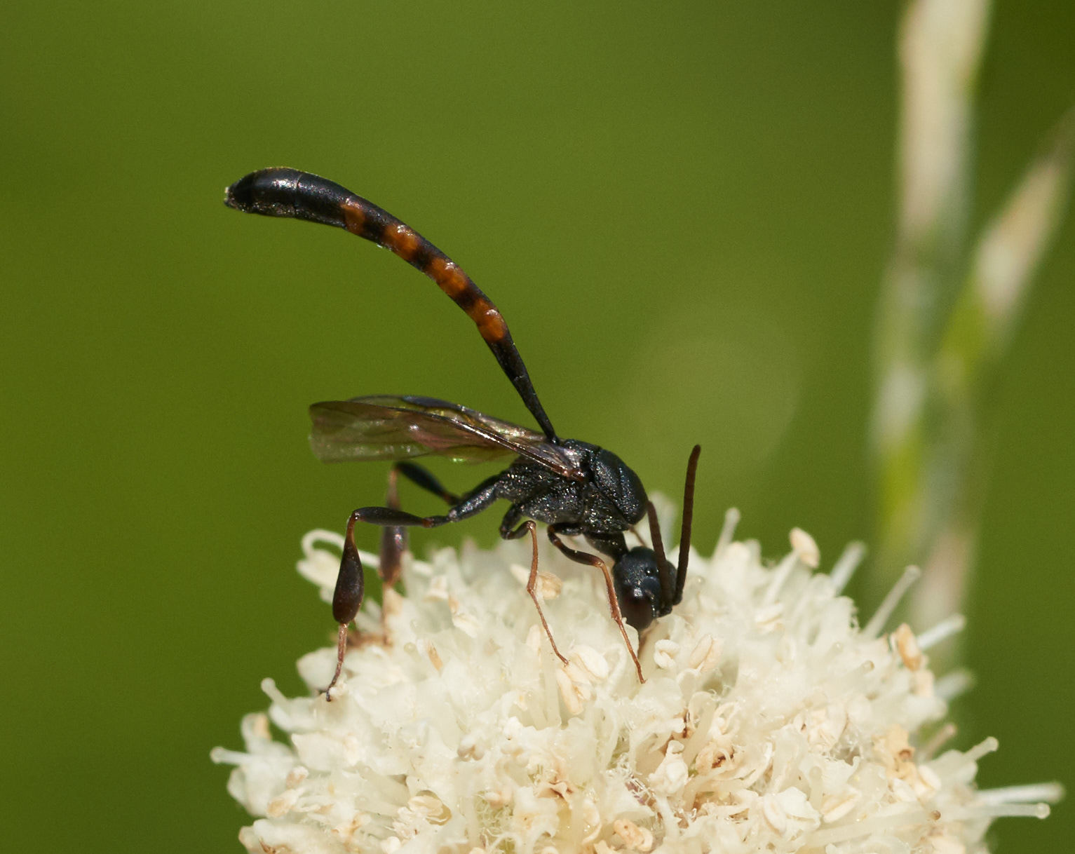 Amazing wasp in the genus  Gasteruption ! Photo by Tony Iwane
