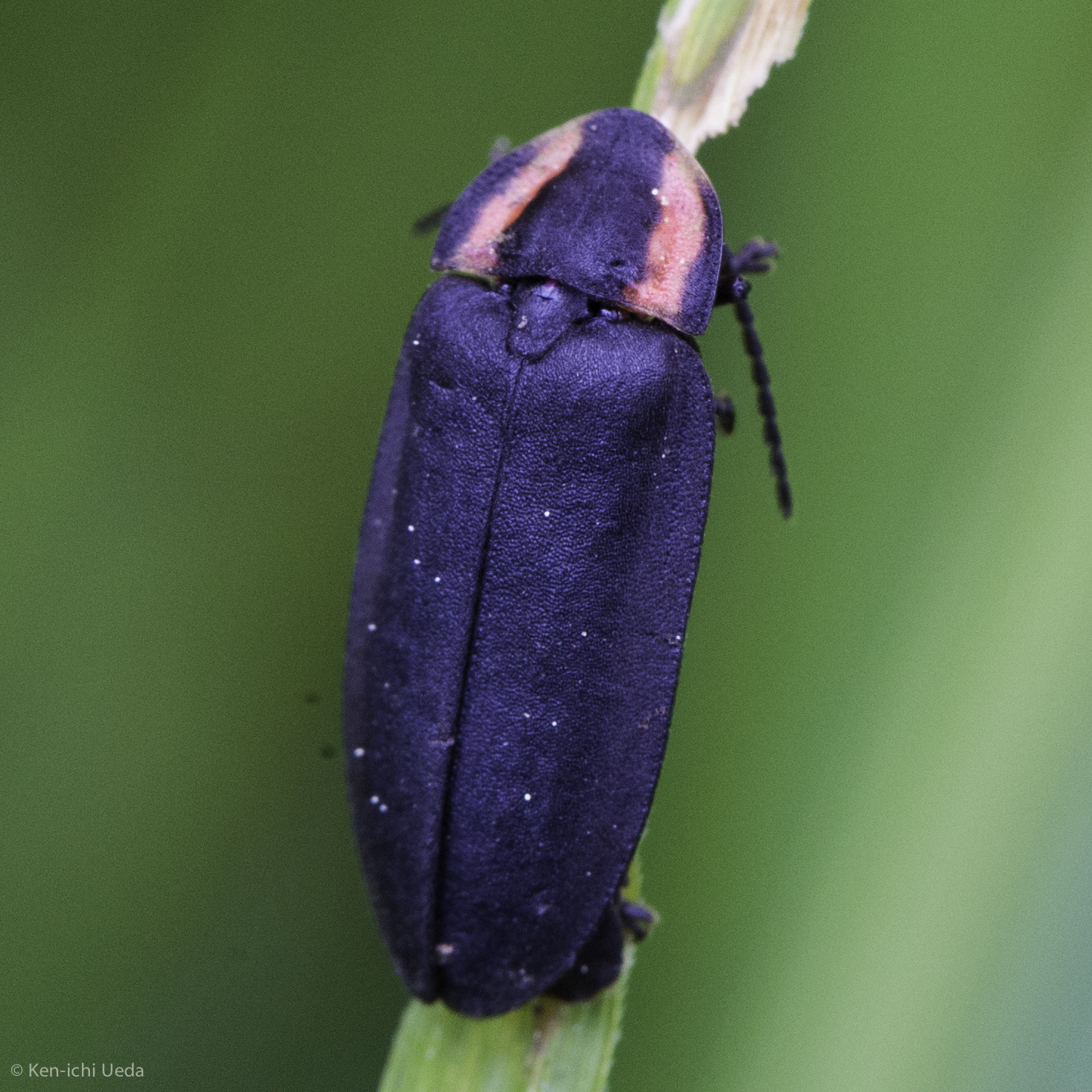 Yes, California has fireflies! Diurnal firefly, Genus Ellychnia. Photo by Ken-ichi Ueda
