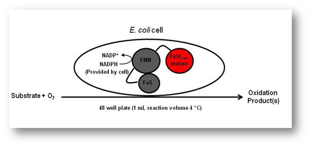 P450 cell.jpg