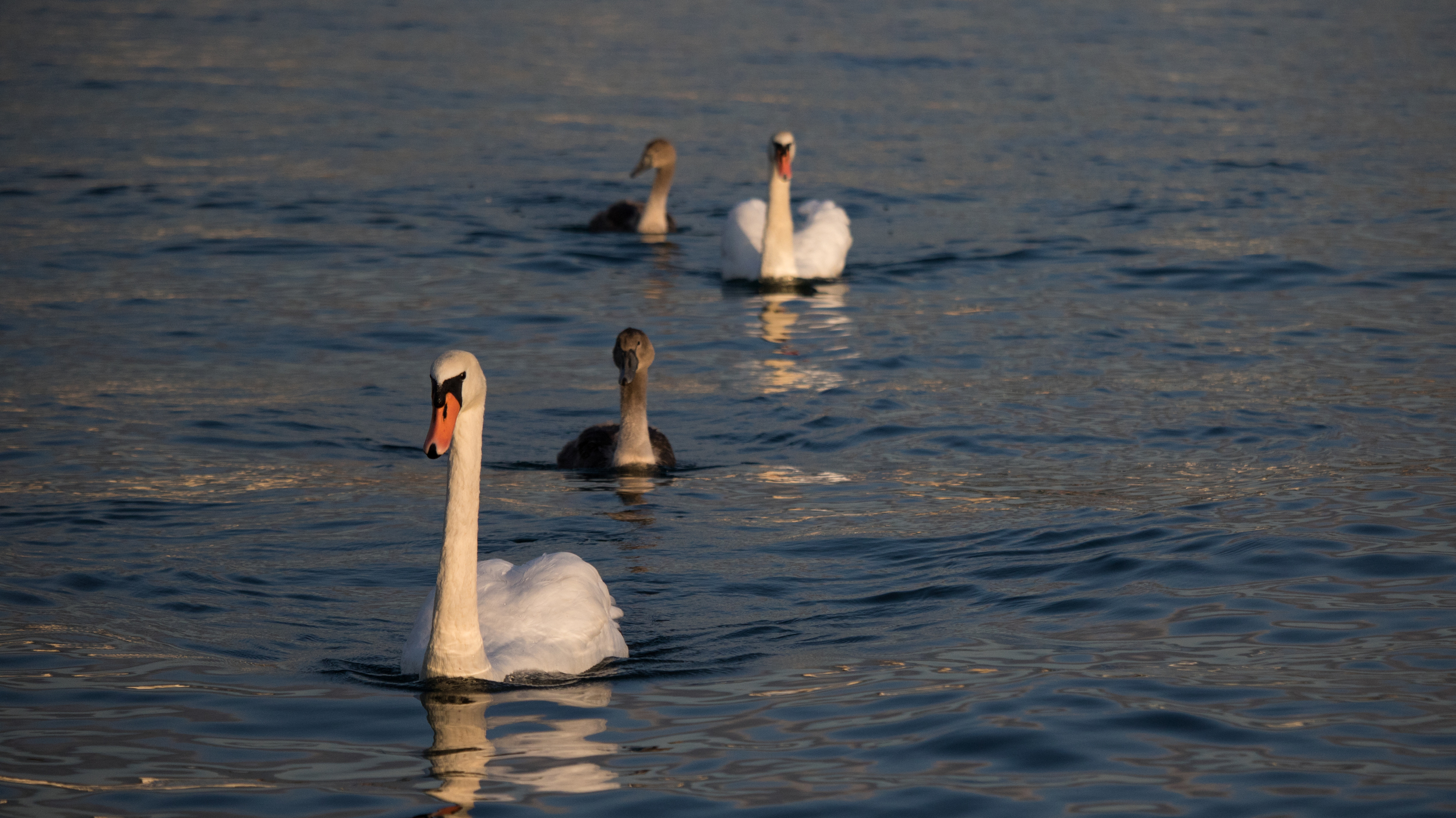 Mute Swans family