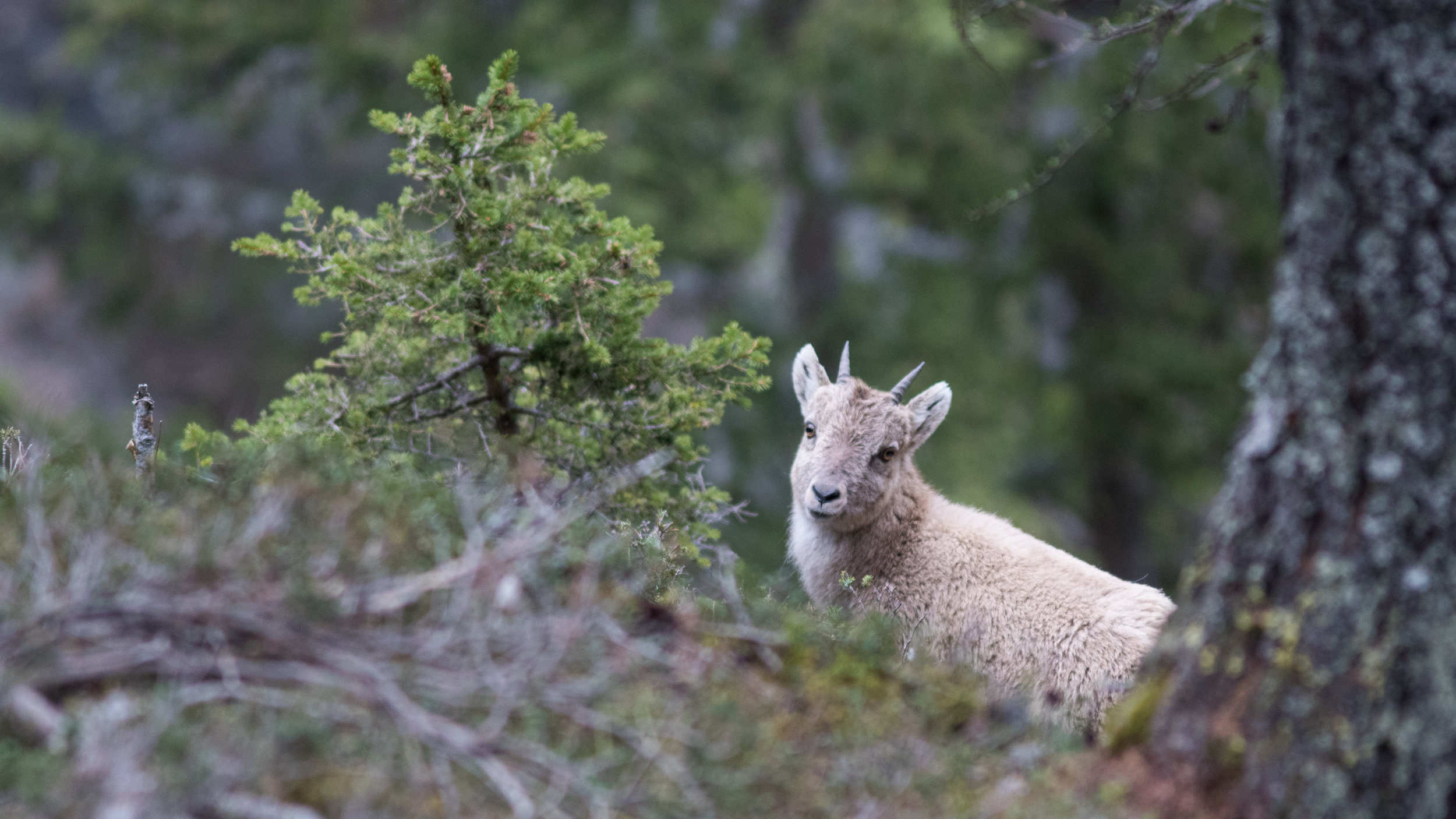 """Young Alpine Ibex (Capra ibex). The young ones are called """"Cabri"""" in french until they are 1 year old."""
