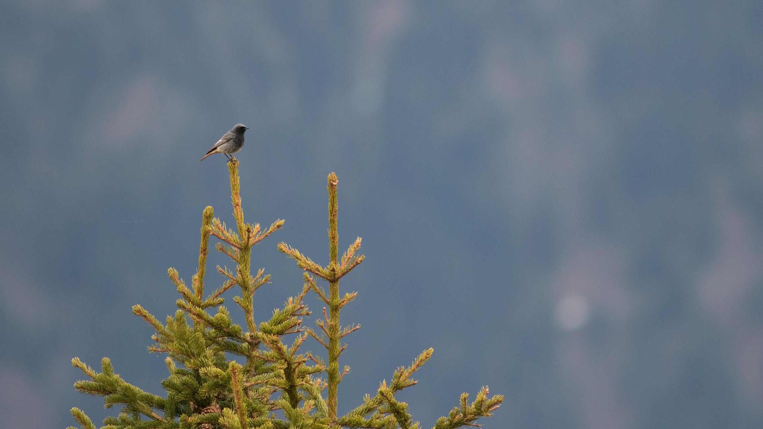 Male Black Redstart (Phoenicurus ochruros).
