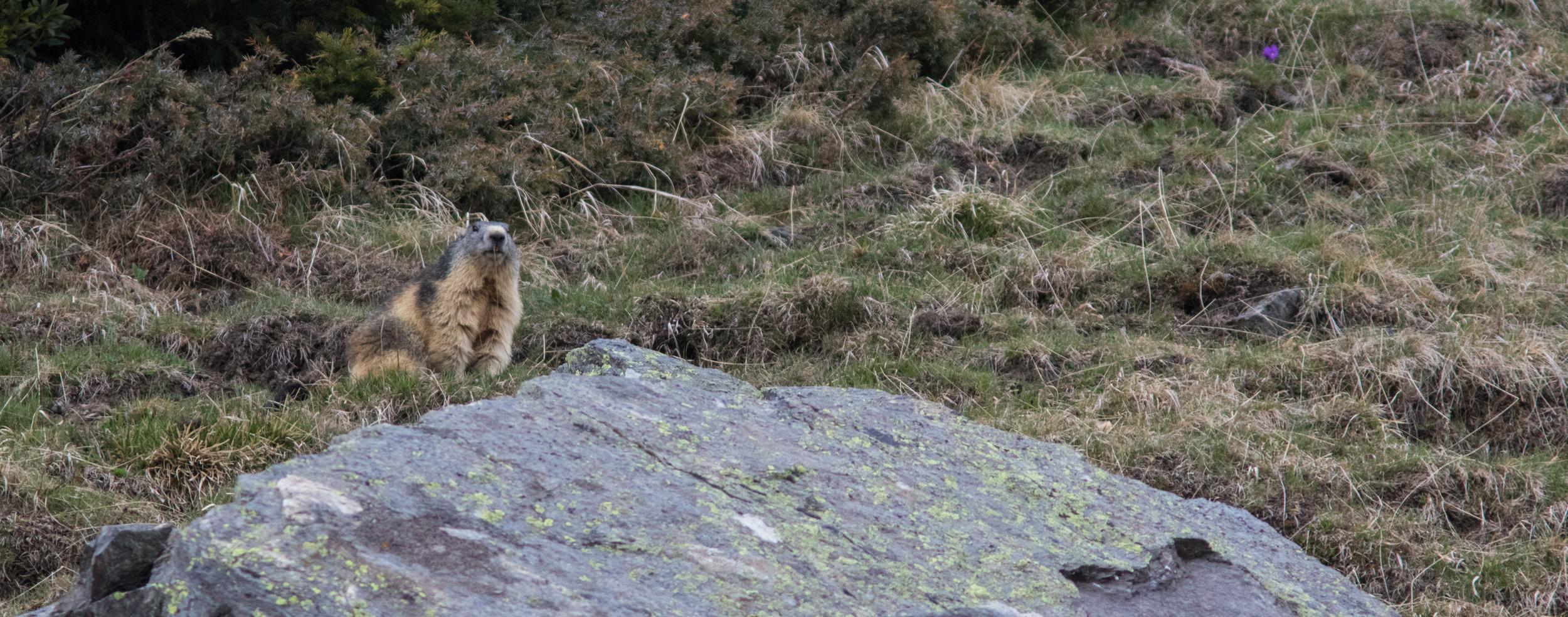Marmot (Marmota marmota).