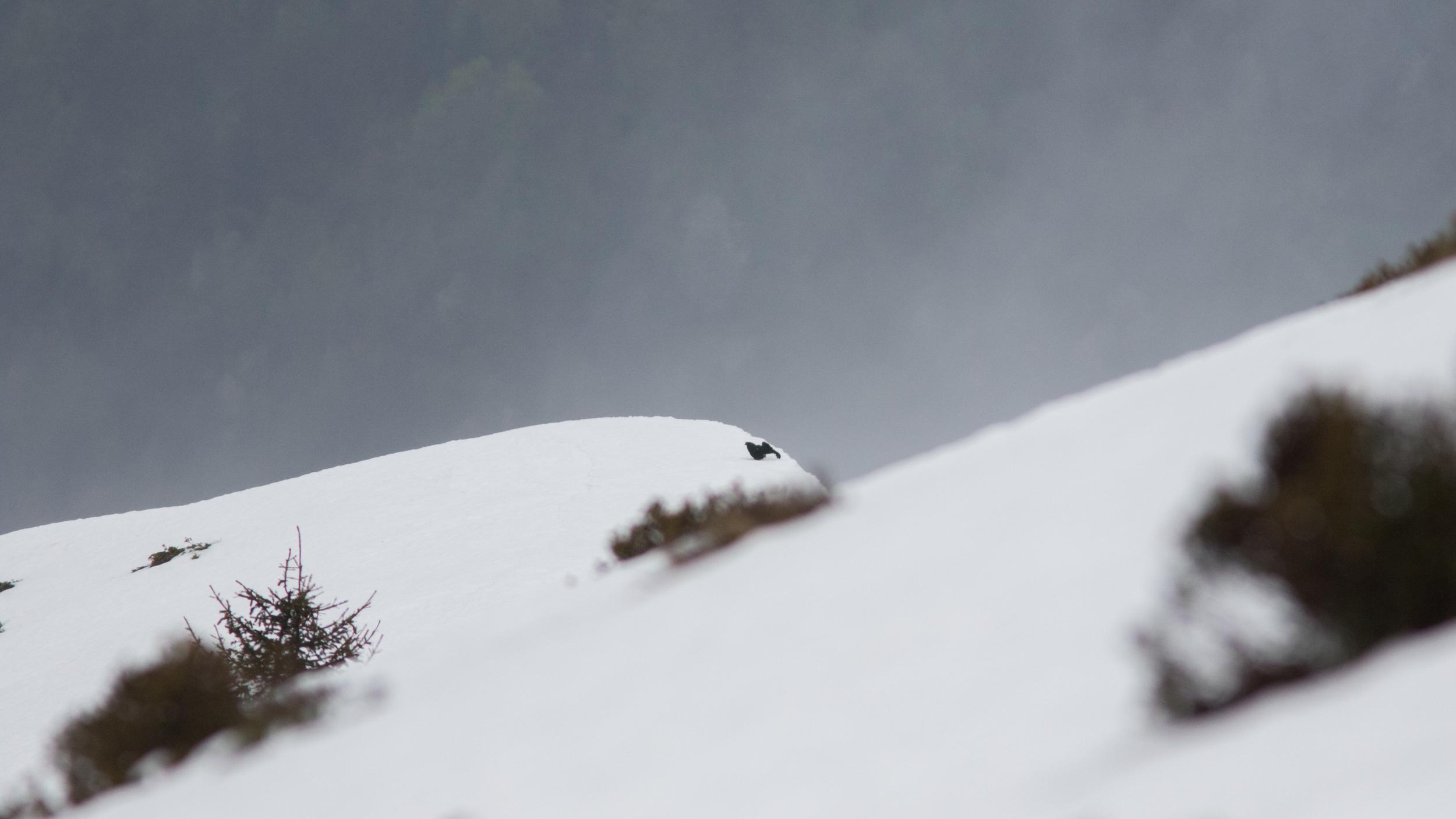 male-black-grouse-snow