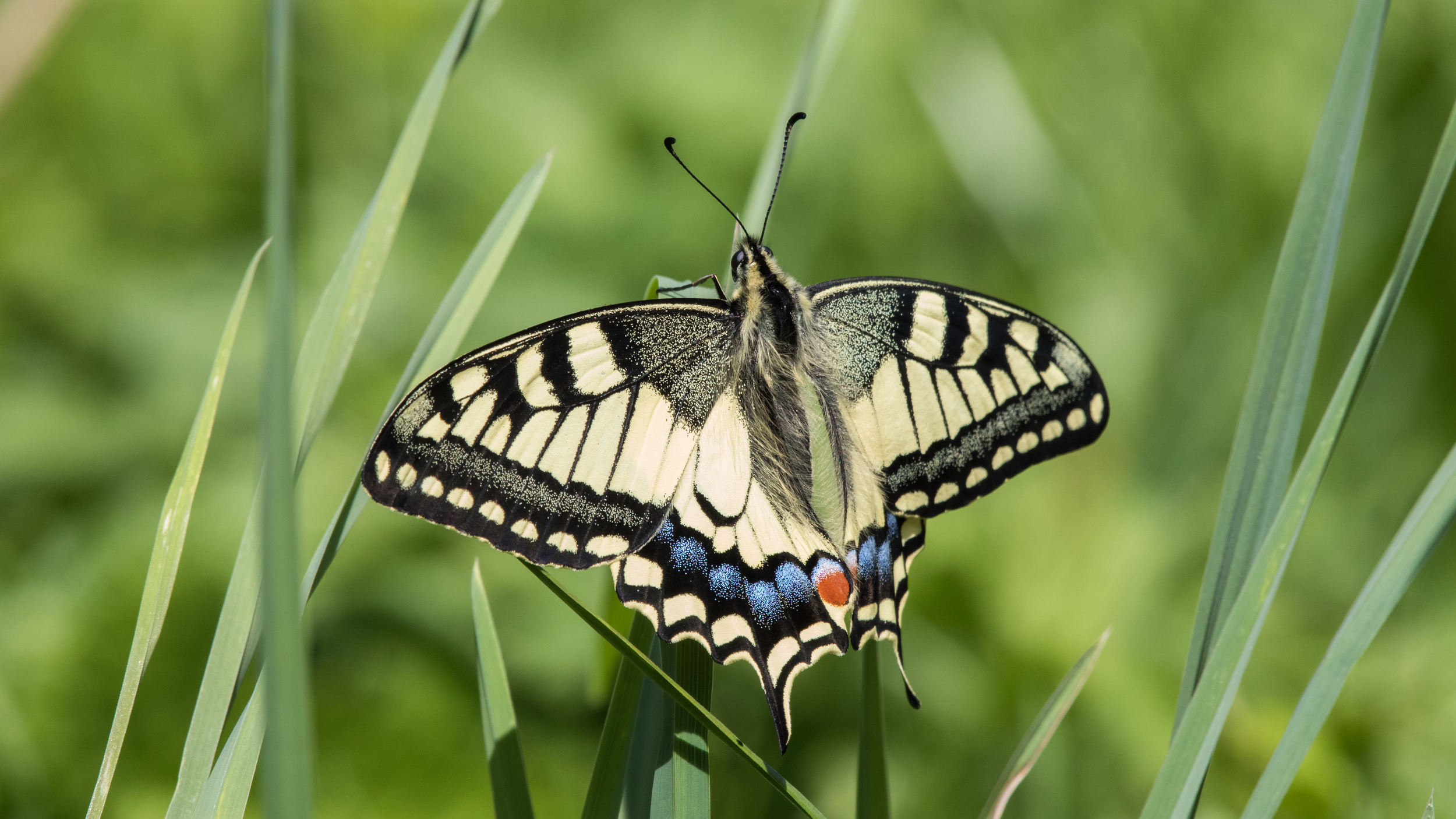 swallowtail-butterfly-lac-benit