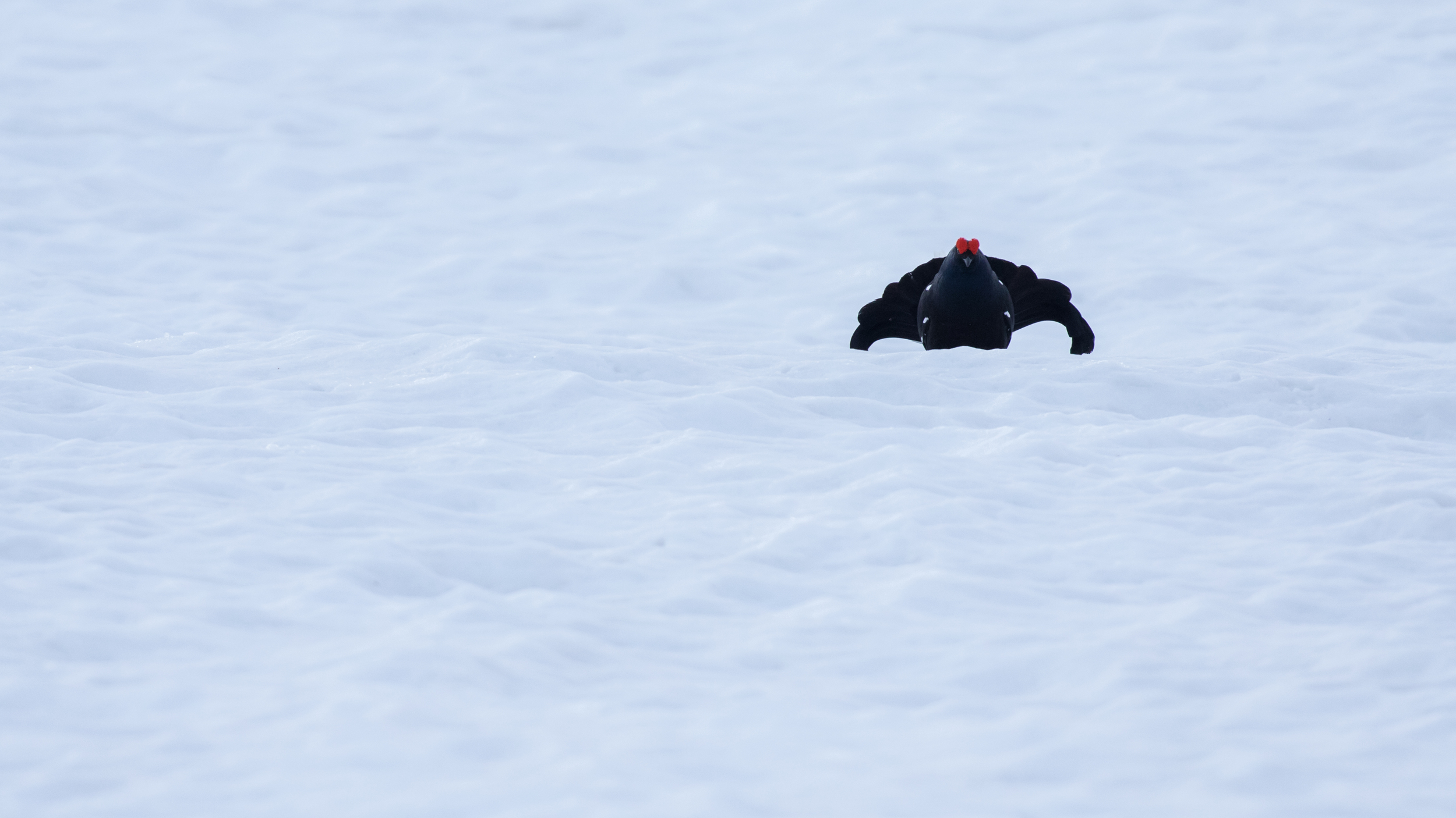 Black Grouse (Lyrurus tetrix) near Chamonix, France. April 2015. Not baited. Not called in.