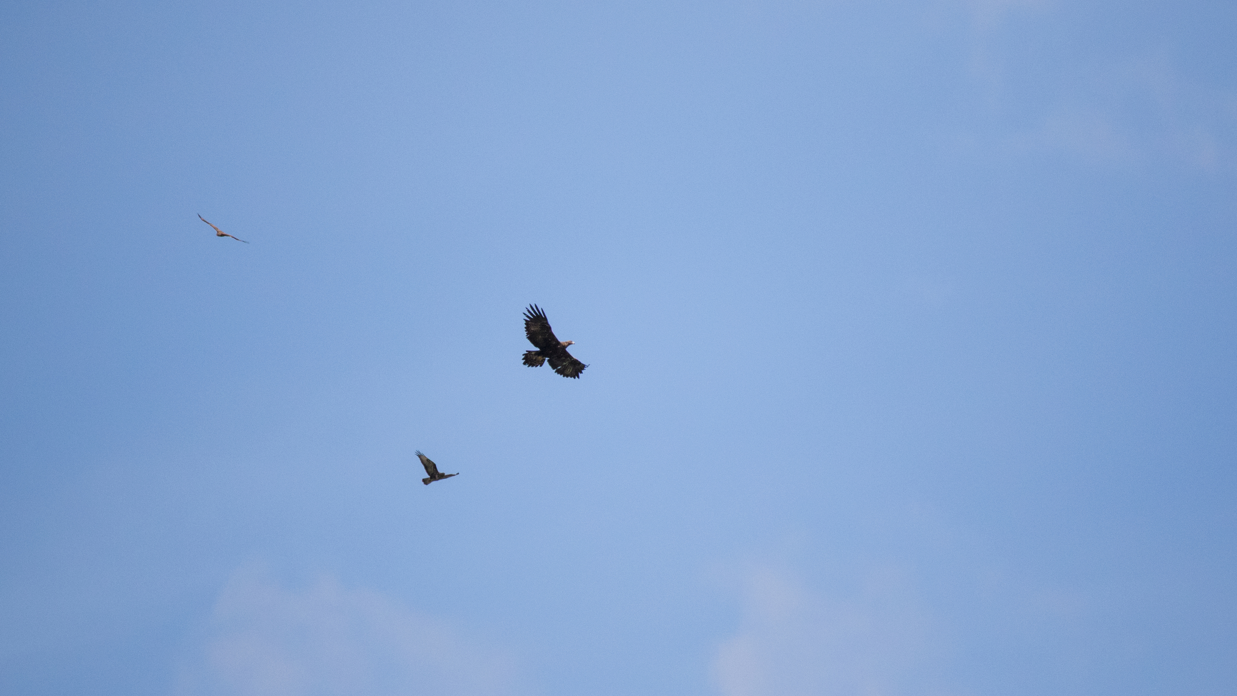 Golden Eagle (Aquila chrysaetos) in Cordon, France. May 2015. Not baited. Not called in.