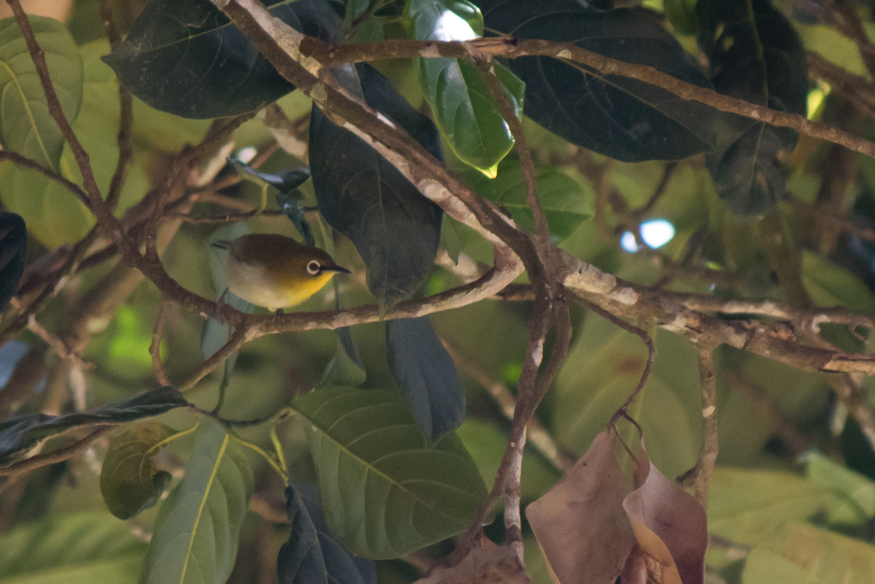 Oriental White-eye (Zosterops palpebrosus) in Munnar, Kerala, India. February 2015. Not baited. Not called in.