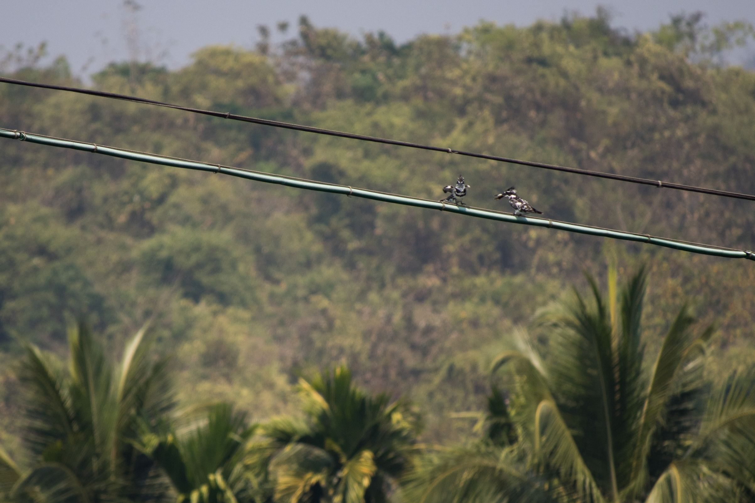 Pied Kingfishers (Ceryle rudis) in Thattekad Bird Sanctuary, Kerala, India. February 2015. Not baited. Not called in.