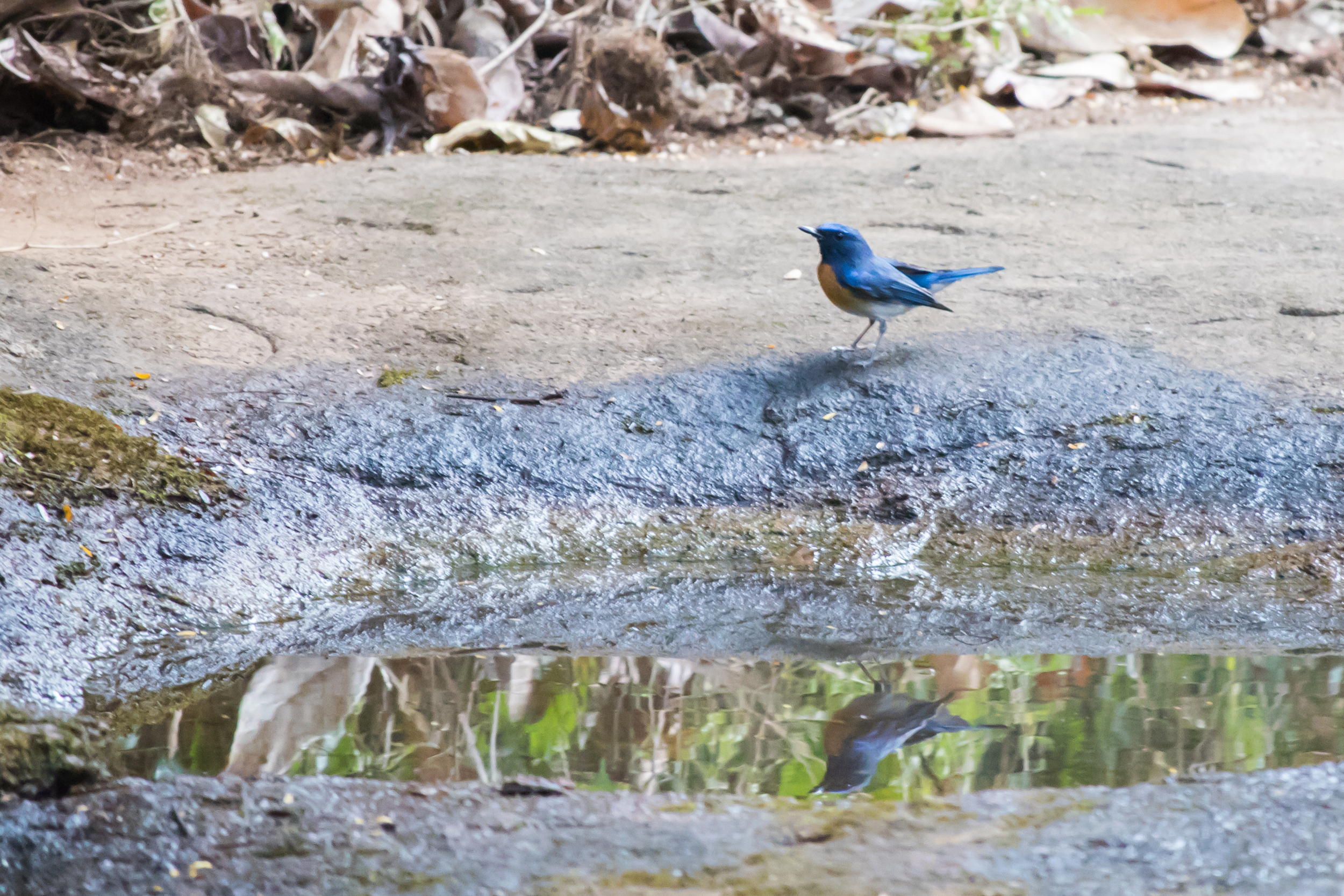 Blue-throated Blue-flycatcher (Cyornis rubeculoides) near Thattekad Bird Sanctuary, Kerala, India. February 2015. Not baited. Not called in.
