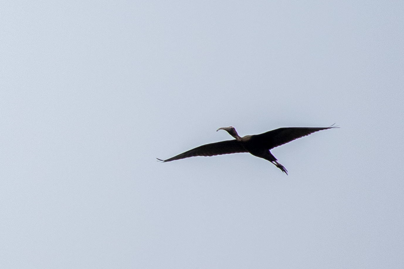Glossy Ibis (Plegadis falcinellus) in Kerala, India. February 2015. Not baited. Not called in,