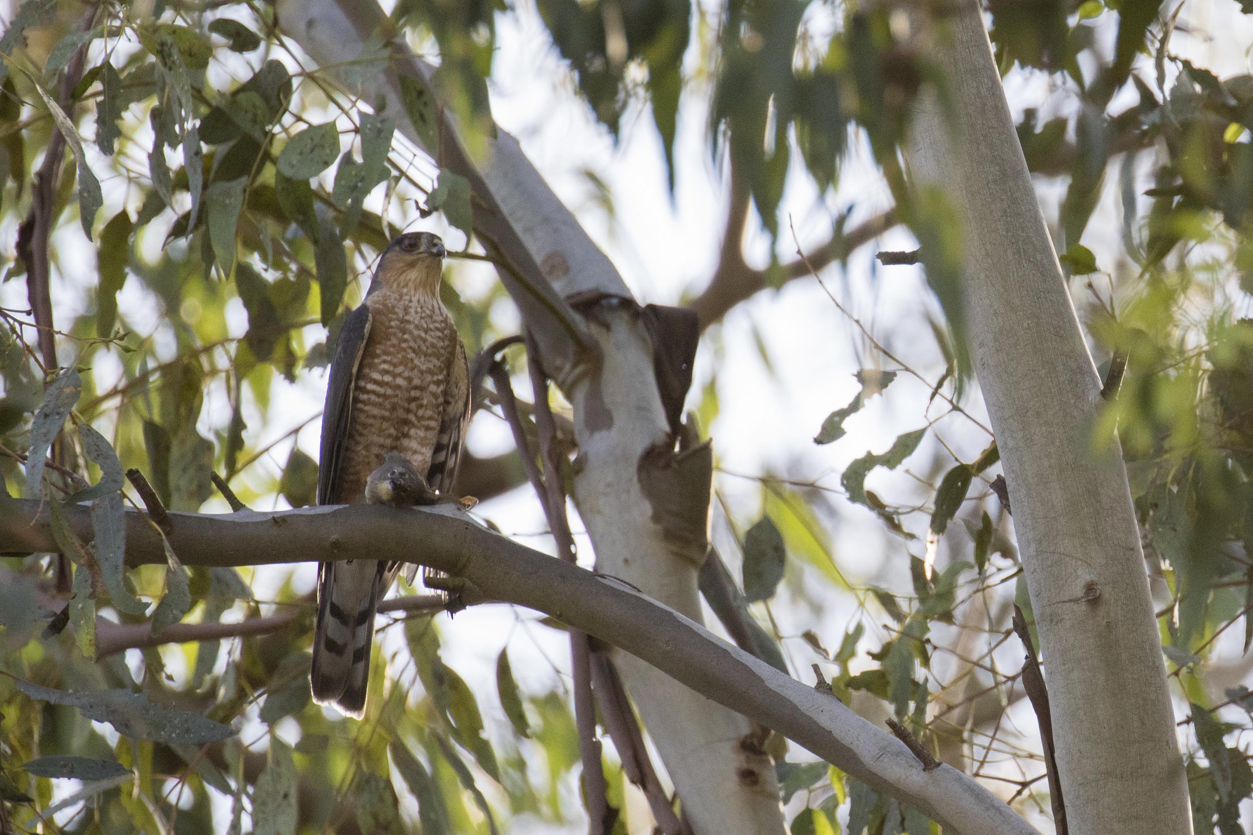 Sharp-shinned Hawk (Accipiter striatus) in Laguna Niguel, California. December 2015. Not baited. Not called in.