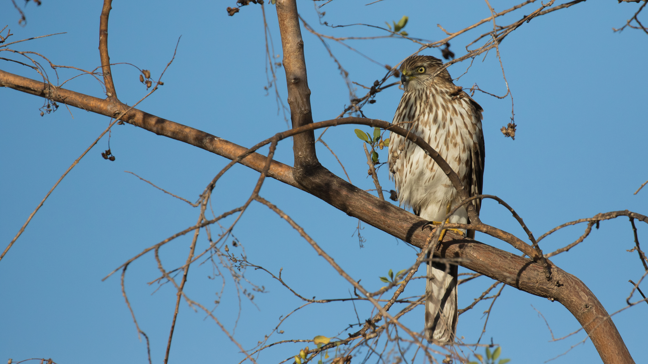 Cooper's Hawk (Accipiter cooperii) in Dana Point, California. December 2015. Not baited. Not called in.