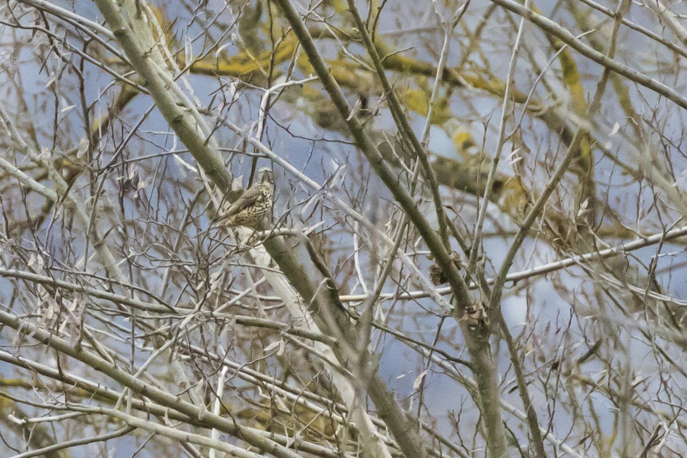 Mistle Thrush (Turdus viscivorus) in Gaillard, France. February 2016. Not baited. Not called in.