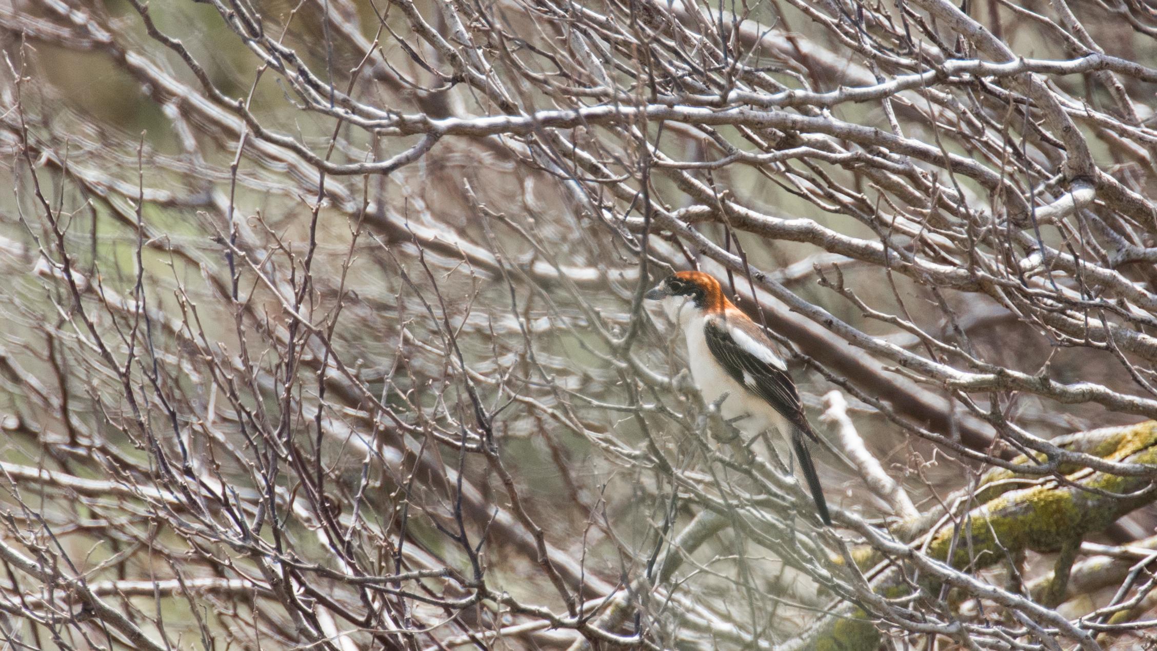 woodchat-shrike-malta