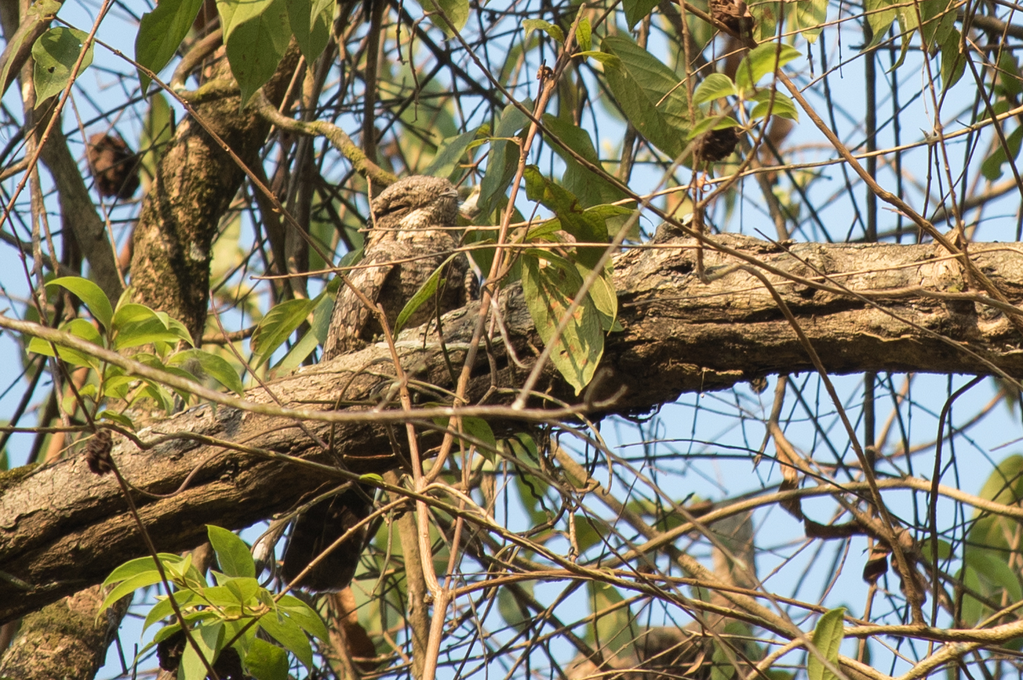 jungle-nightjar-kerala-india