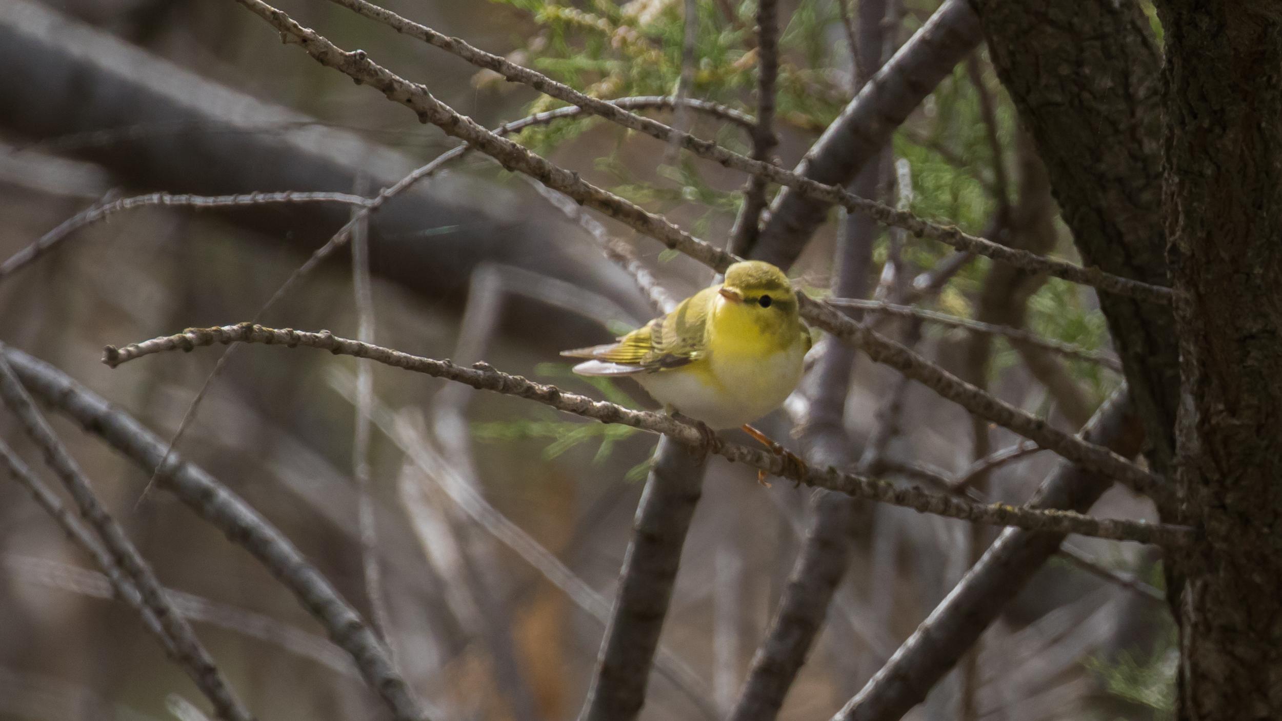 wood-warbler-is-simar-nature-reserve-malta