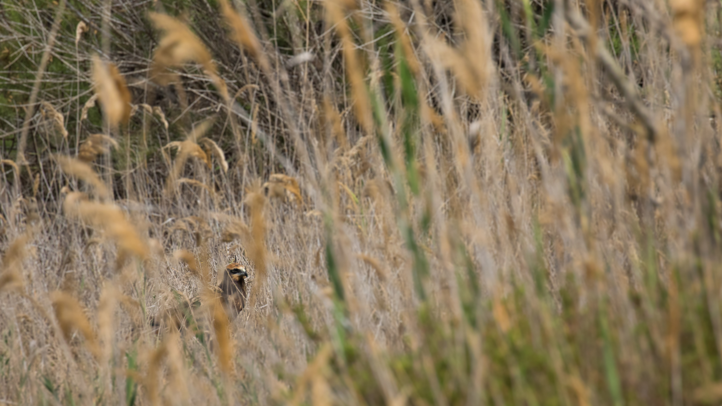 Western Marsh-harrier (Circus aeruginosus) at BirdLife's  Is-Simar Nature Reserve .