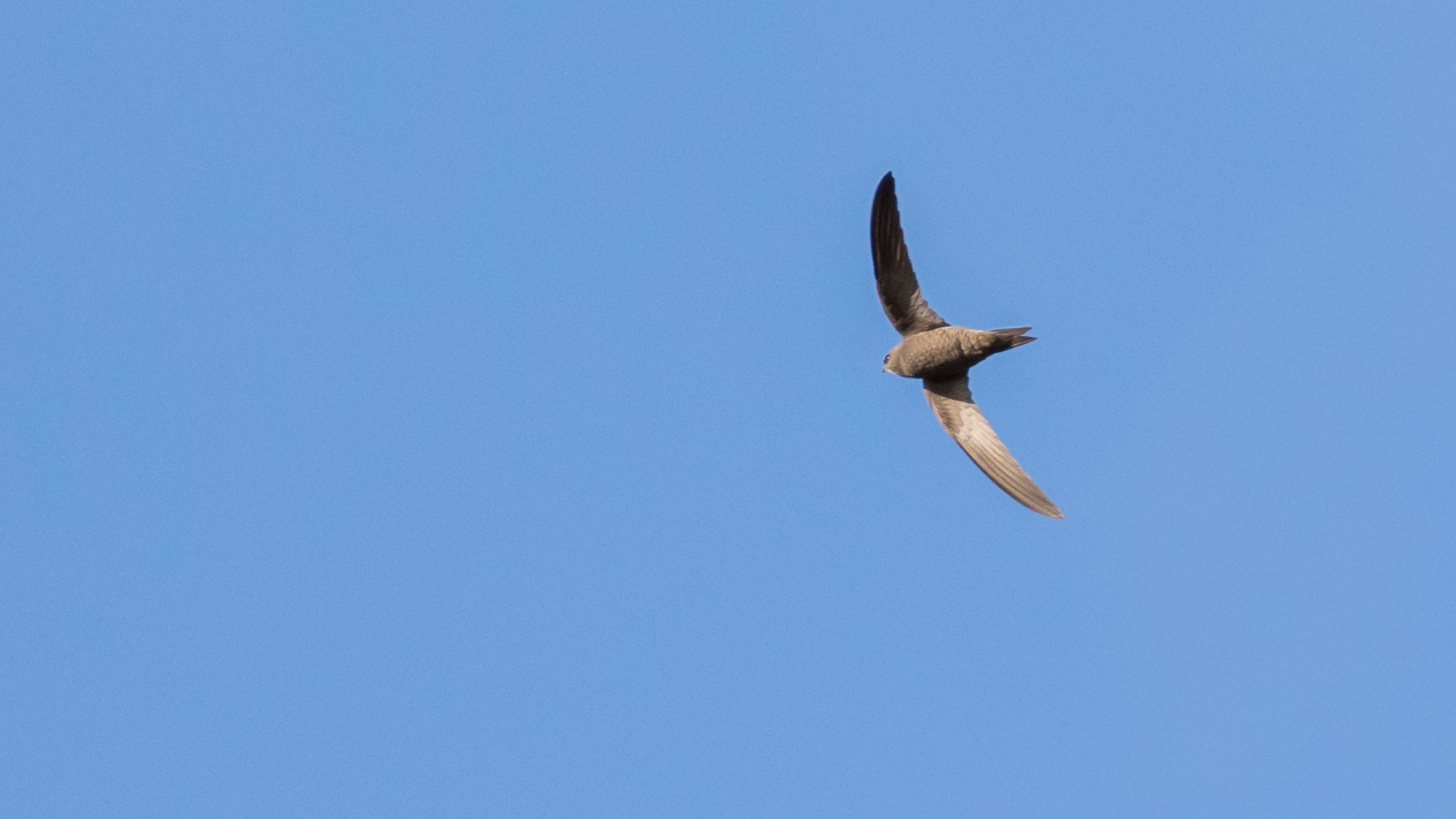 Pallid Swift (Apus pallidus) in Malta. April 2016. Not baited. Not called in.