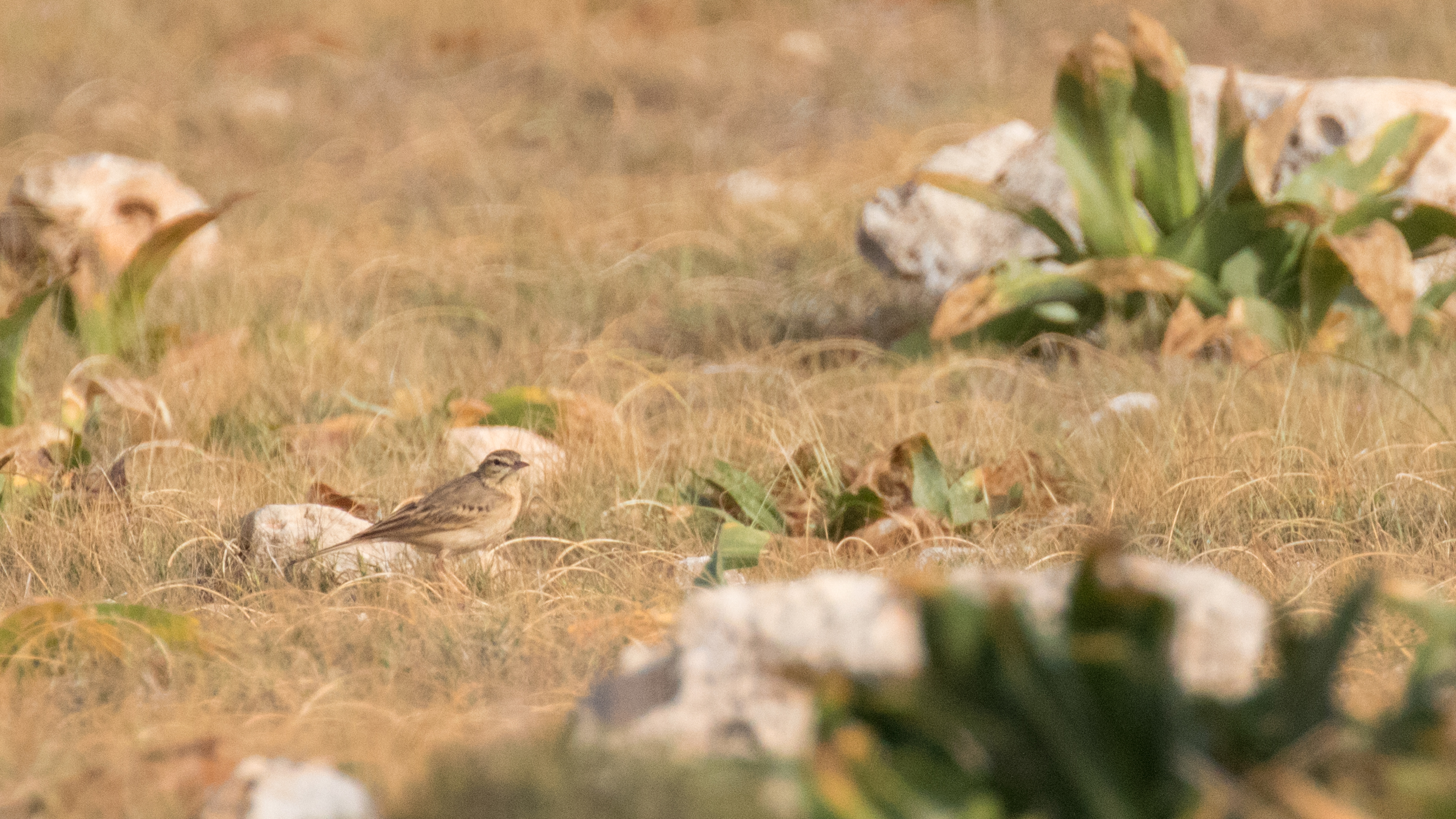 Tawny Pipit (Anthus campestris) spotted in Malta. April 2016. Not baited. Not called in.