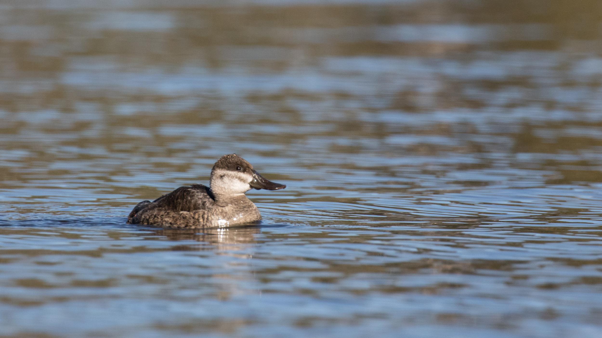 Ruddy Duck (Oxyura jamaicensis)at the Laguna Niguel Regional Park, California.December 2015. Not baited. Not called in.