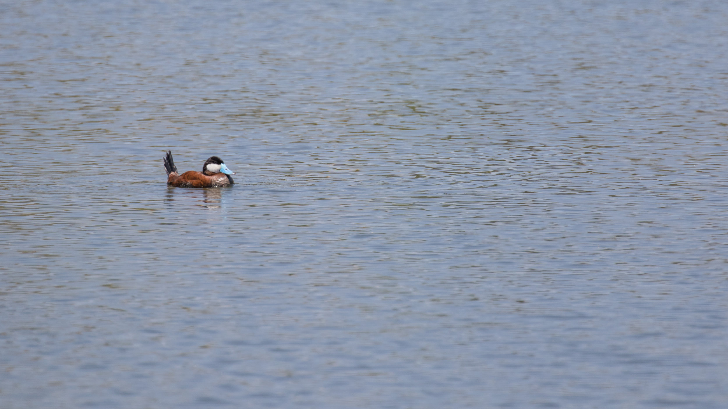 Male Ruddy Duck (Oxyura jamaicensis) in breeding plumage at the Laguna Niguel Regional Park, California. August 2016. Not baited. Not called in.