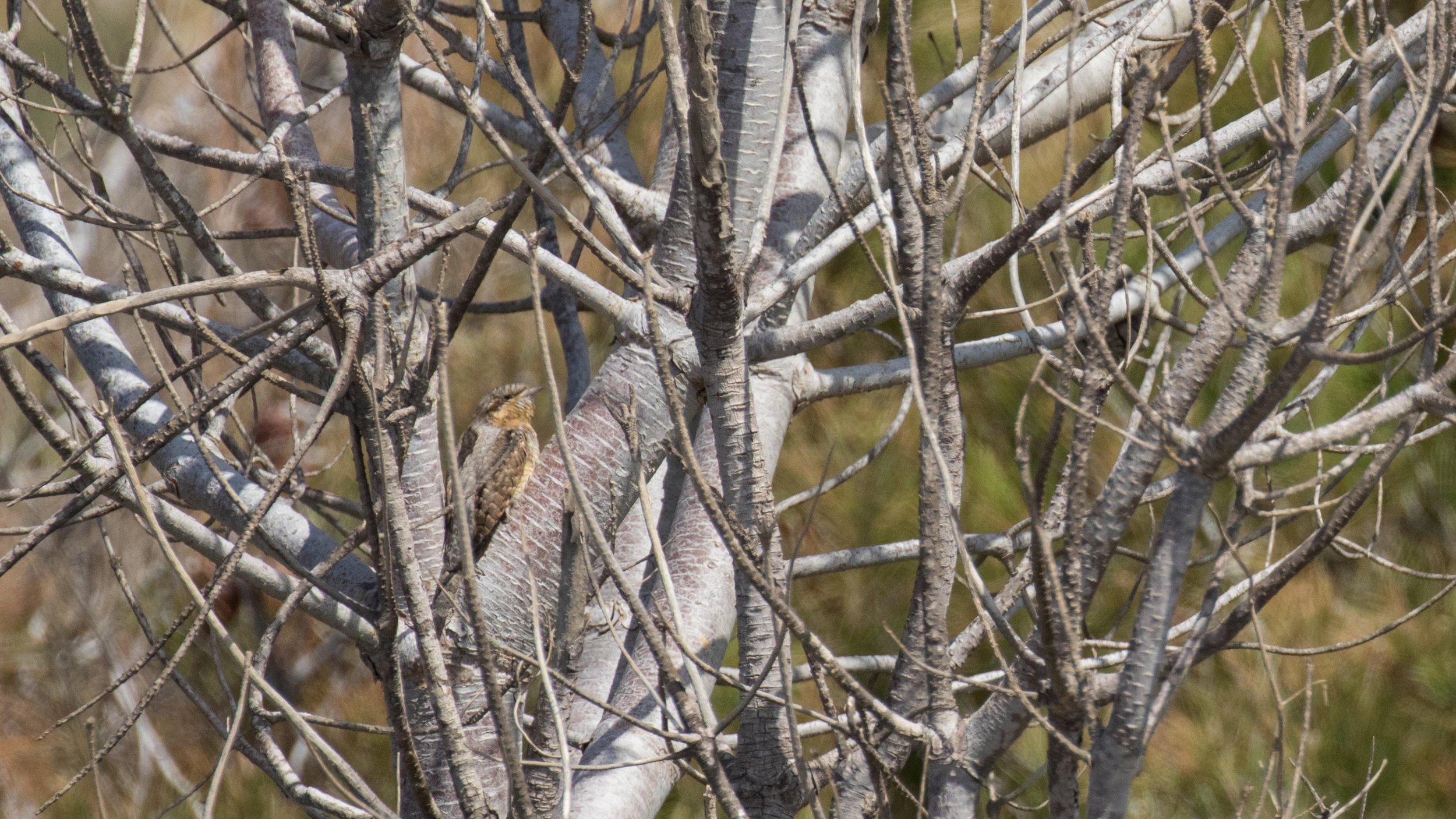 Eurasian Wryneck (Jynx torquilla) in Malta. April 2016. Not baited. Not called in.