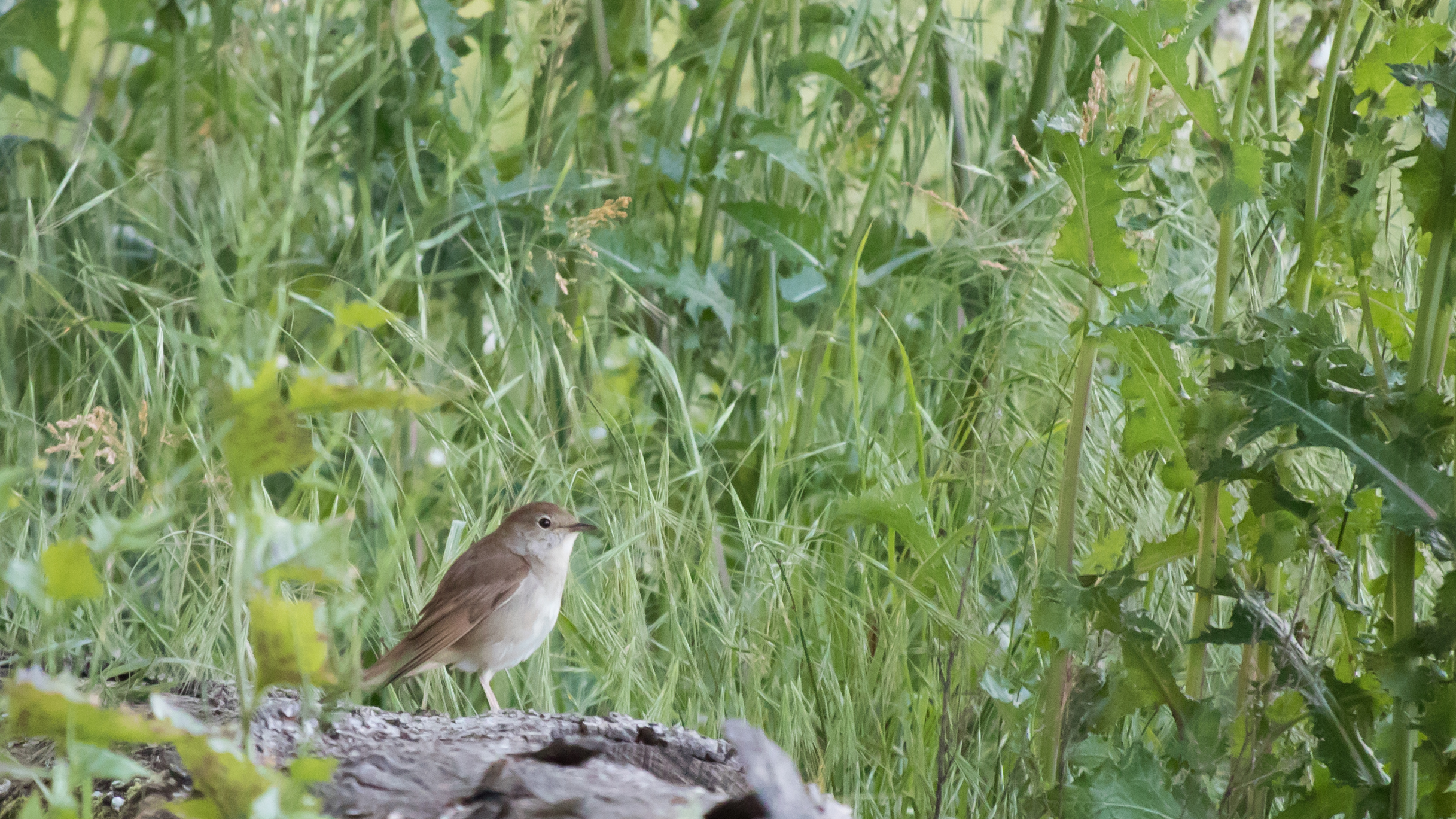Nightingale (Luscinia megarhynchos) at Marais de Sionnet, Switzerland. May 2015. Not baited. Not called in.