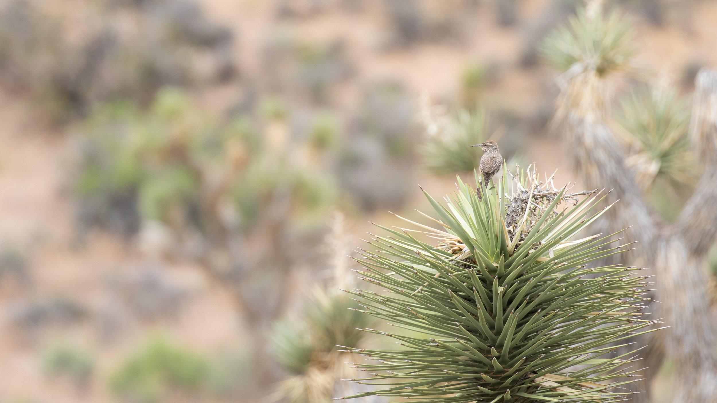 Cactus Wren (Campylorhynchus brunneicapillus) in Joshua Tree National Park, California. Not baited. Not called in.