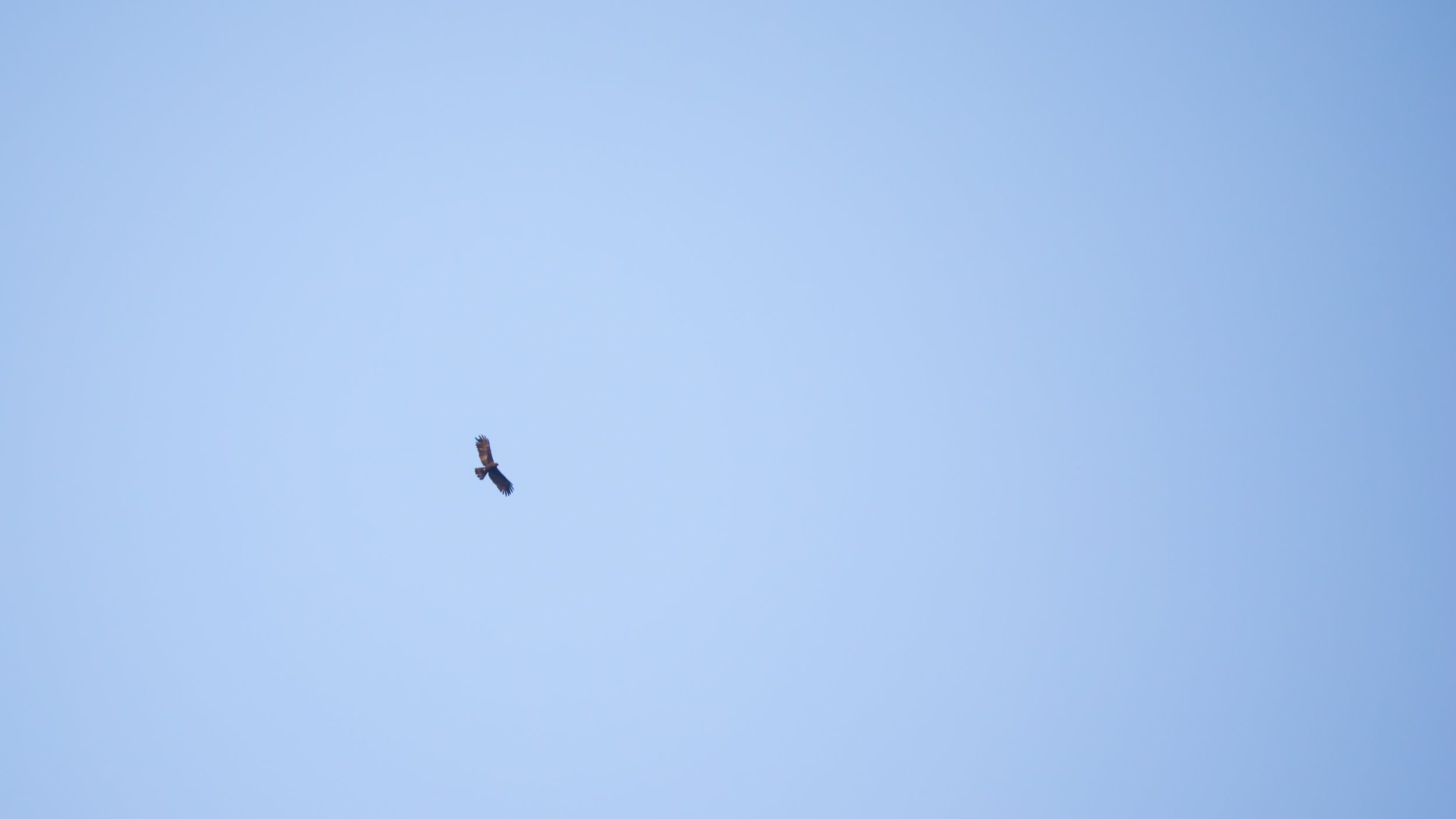 Black Eagle (Ictinaetus malayensis) in Munnar region, Kerala, India. February 2015. Not baited. Not called in.